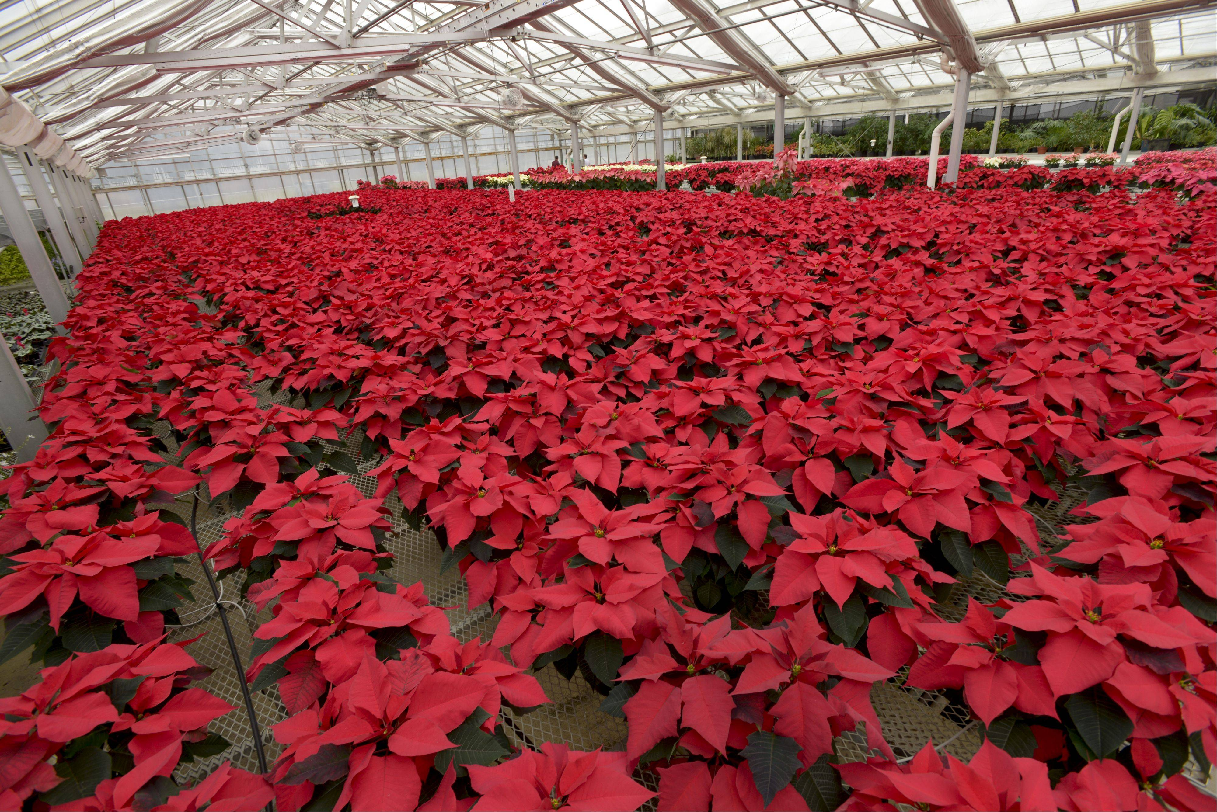 More than a dozen varieties of poinsettias were on display Tuesday during the annual �Shades of Crimson� event at the Cantigny Park greenhouse.