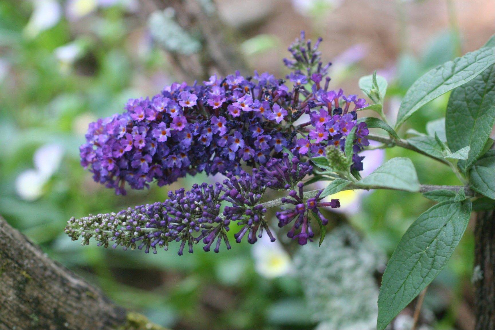 The butterfly bush is a pollinator-attracting, low-maintenance shrub that once established can tolerate weather extremes and gardener neglect.