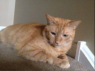 This is either Tom or Jerry, one of two identical yellow tabby cats who are missing following a house fire in Lisle.
