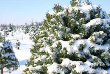 Choose the right Christmas tree this year with these tips from Davey Tree arborists.
