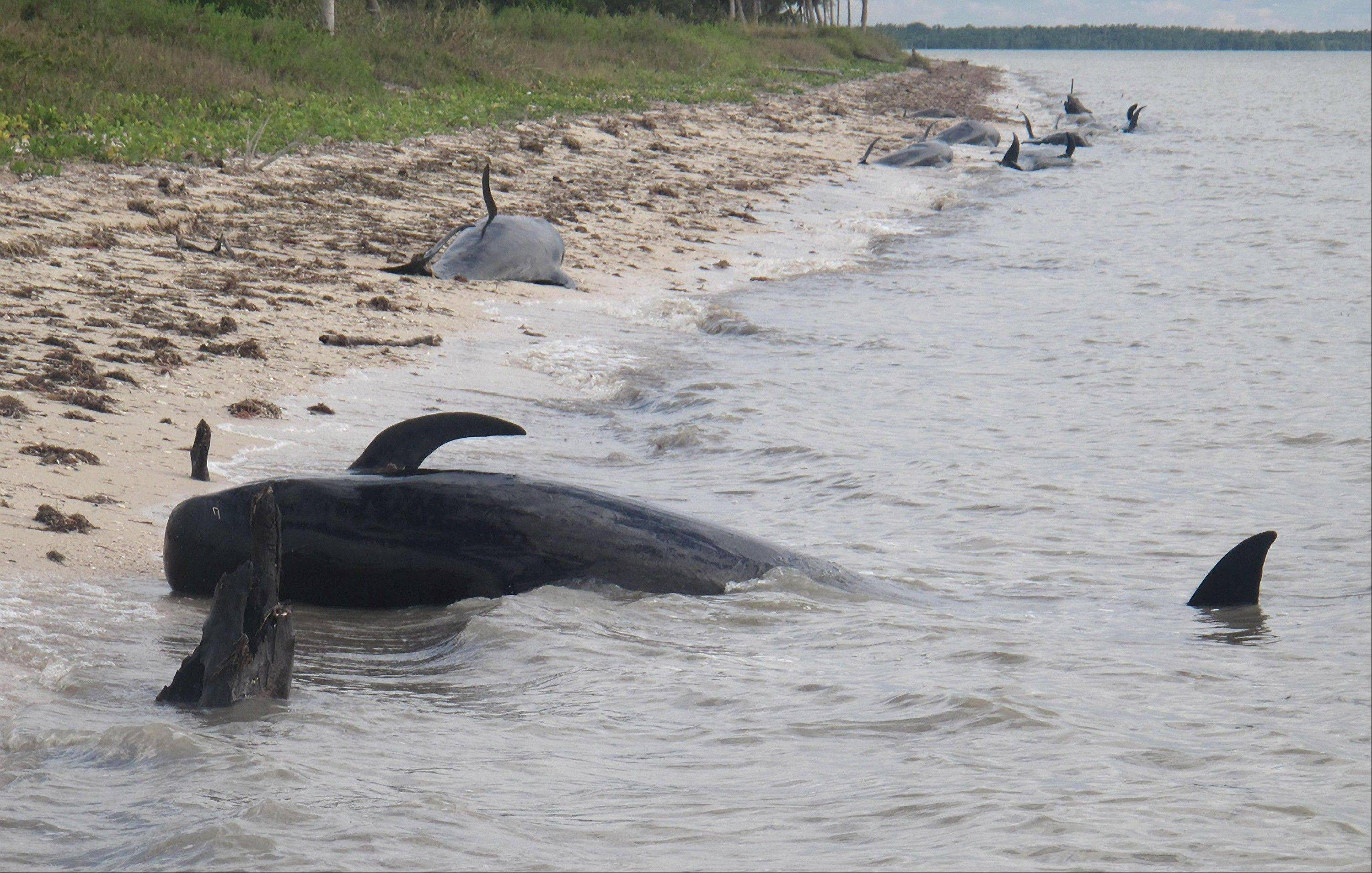 Pilot whales are stranded on a beach in a remote area of the western portion of Everglades National Park, Fla. Federal officials said some whales have died. The marine mammals are known to normally inhabit deep water.