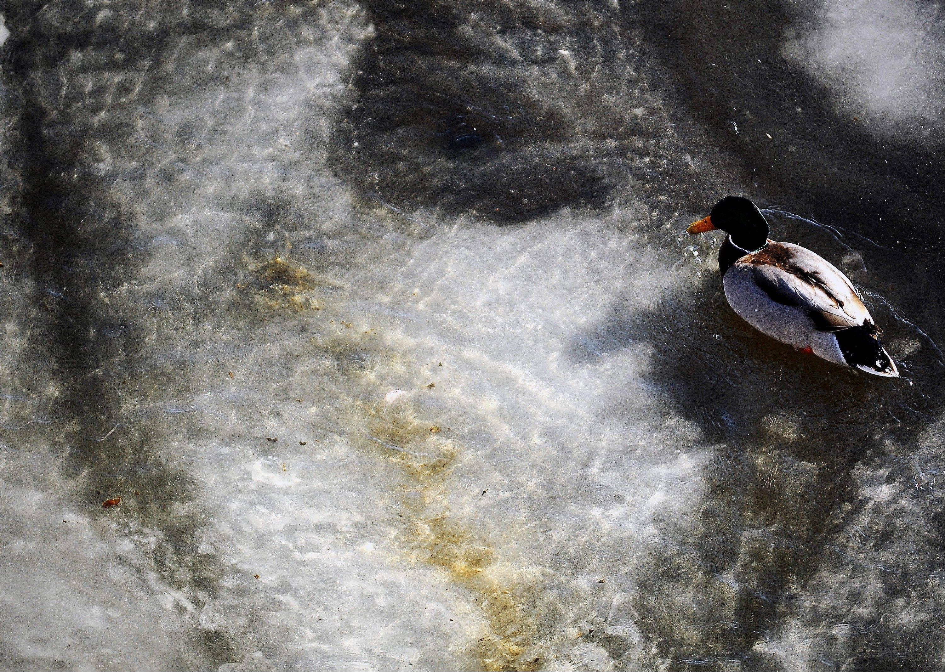 A drake mallard swims in a few inches of water at a partially frozen Big Sioux River in Sioux Falls, S.D., on Thursday, Dec. 5, 2013.
