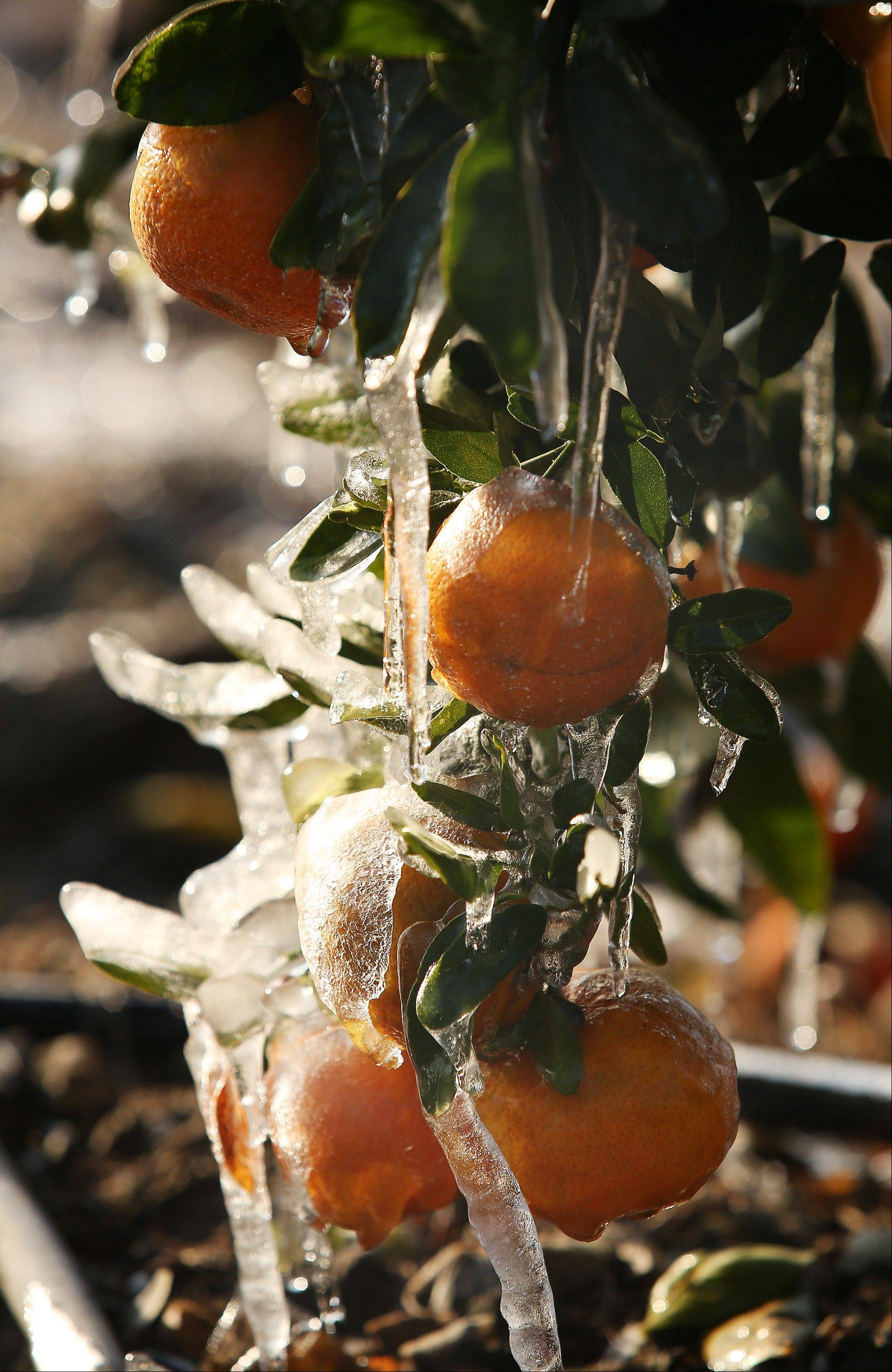 Tangerines suffer some freeze Friday even though misters are running to avoid as much damage as possible in Orange Cove, Calif.