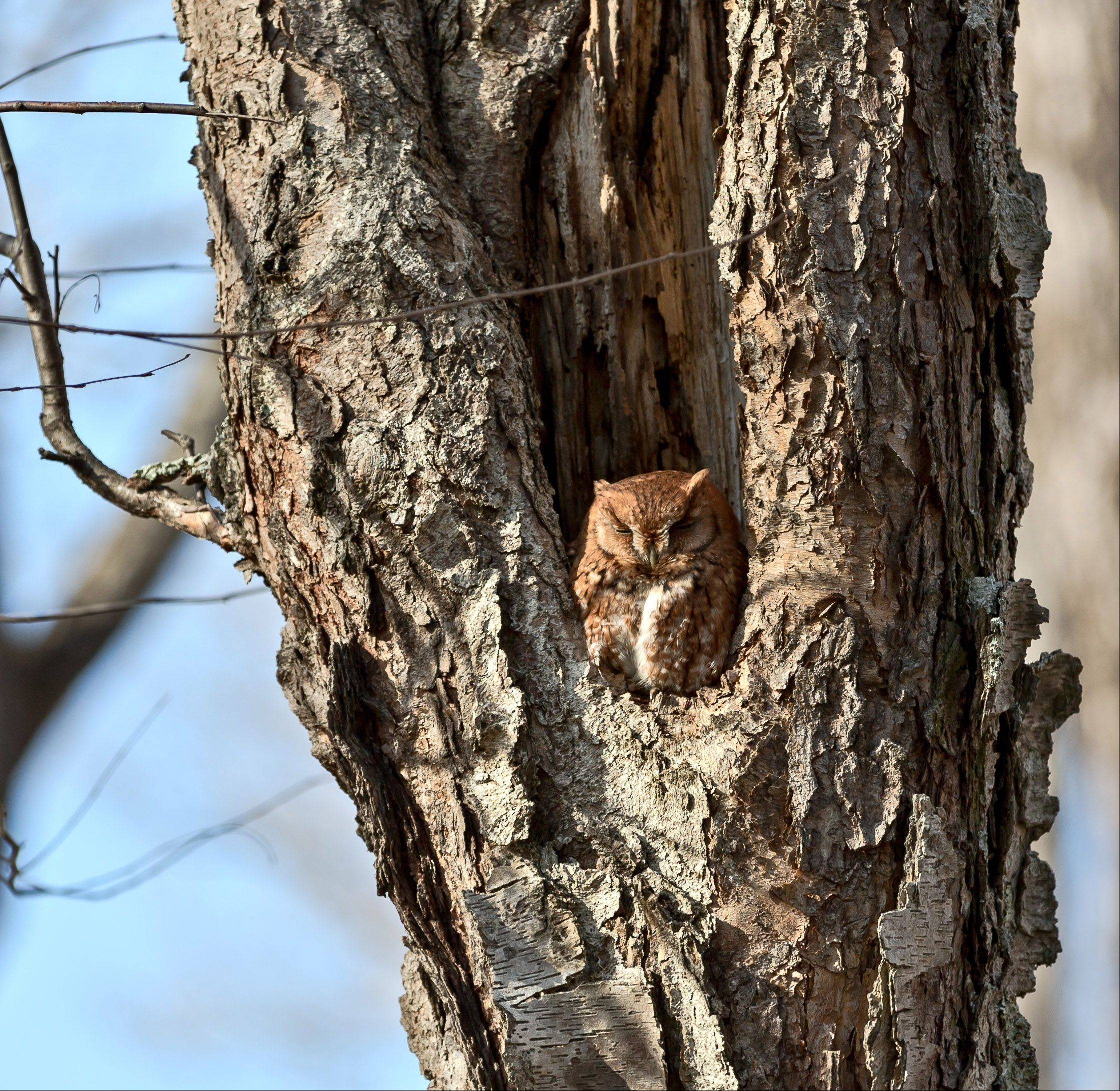A Screech Owl sleeps in the fork of a tree in Biltmore Estate in Asheville, North Caroline last week.