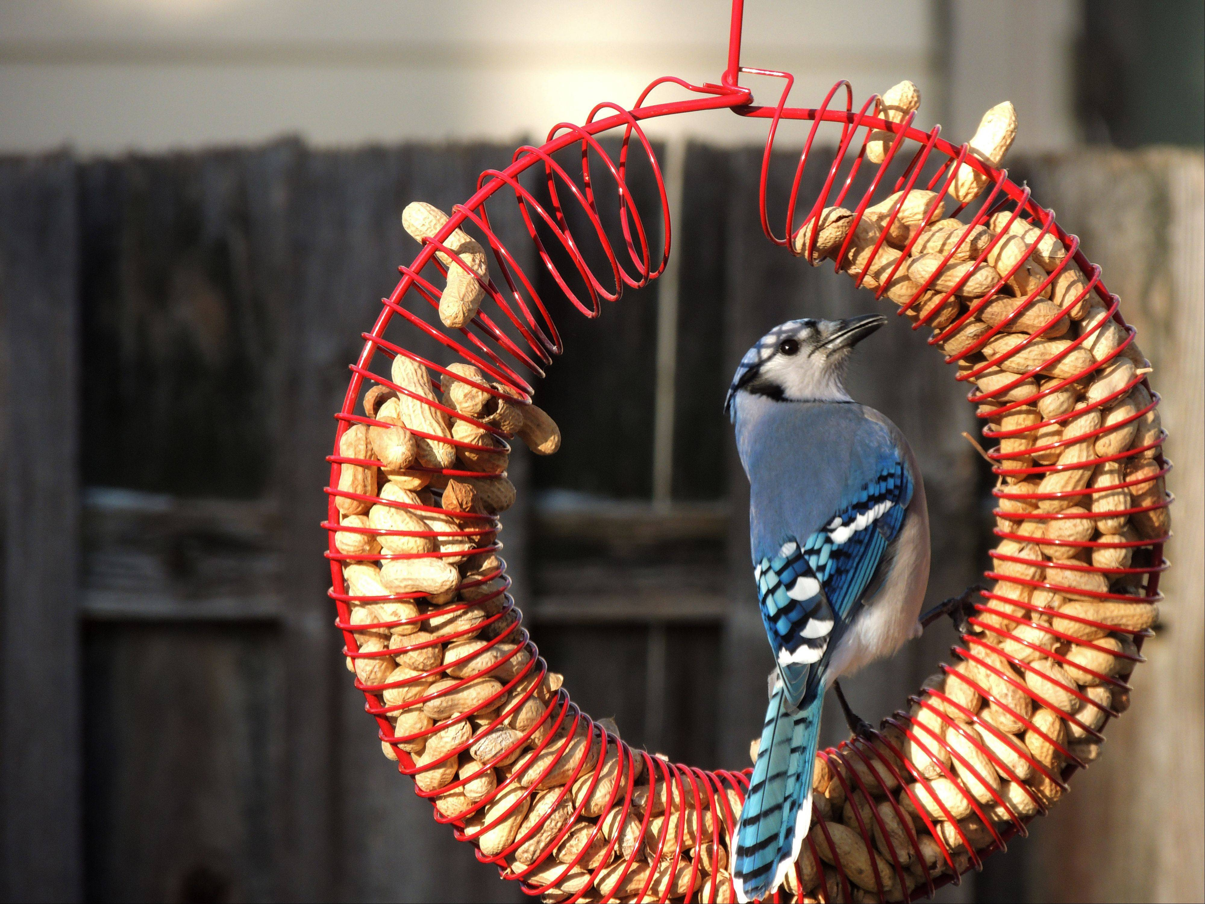 A Blue Jay enjoys breakfast in a Wheeling backyard last week.