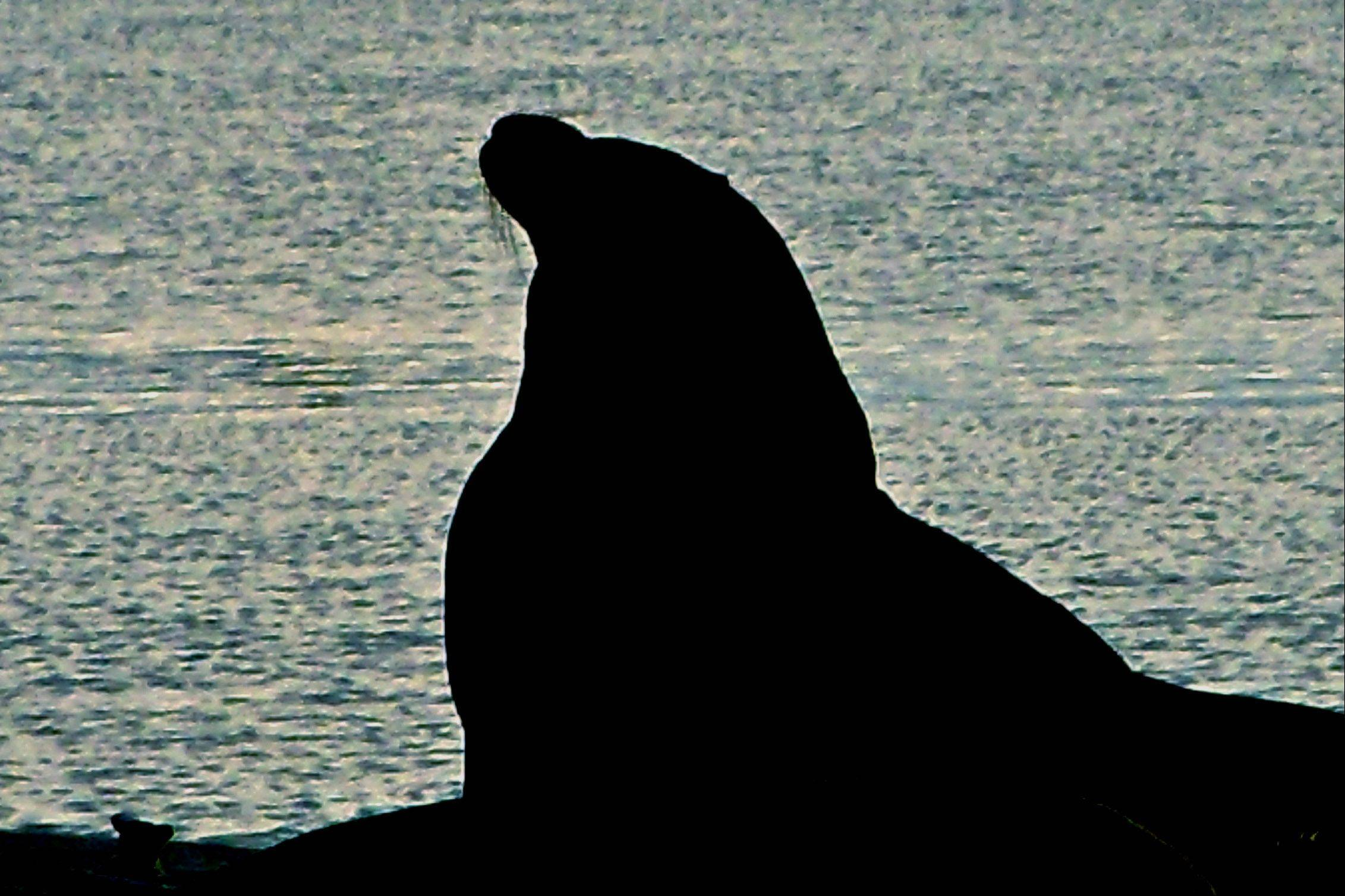 I took this picture at the Crescent City CA. harbor. The sun was just going down and this sea lion was sitting on a dock as if watching the sunset.