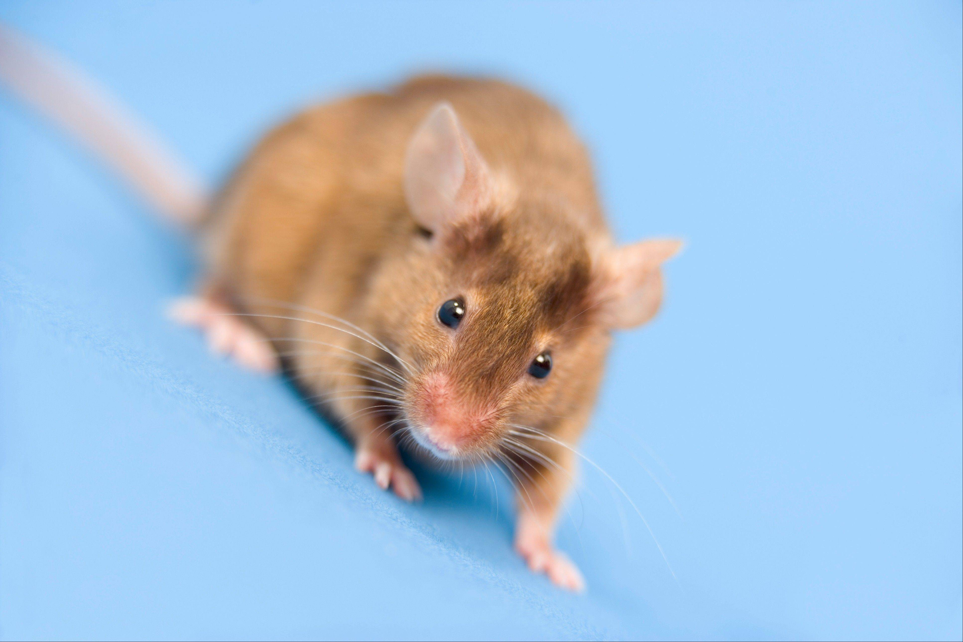 Scientists taught two groups of male mice to fear odors by zapping their feet with an electric shock every time they blew scented air into their cages. The experimental group became afraid of cherry blossoms with a hint of almond, and the control group feared alcohol. The experimental groups' offspring also feared cherry blossom smells from birth.