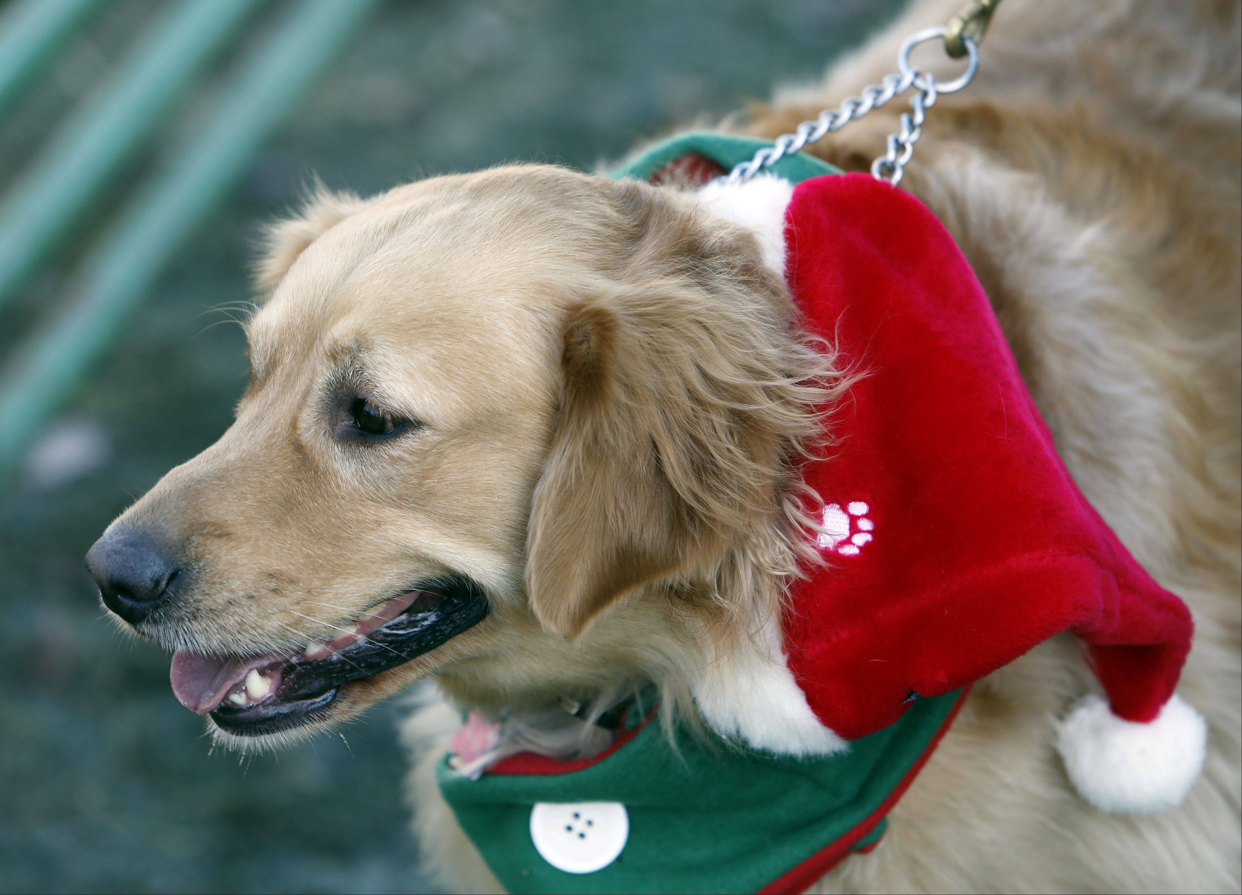 Charlotte, a golden retriever, sported Christmas gear during Dickens in Dundee at Grafelman Park Saturday in West Dundee.