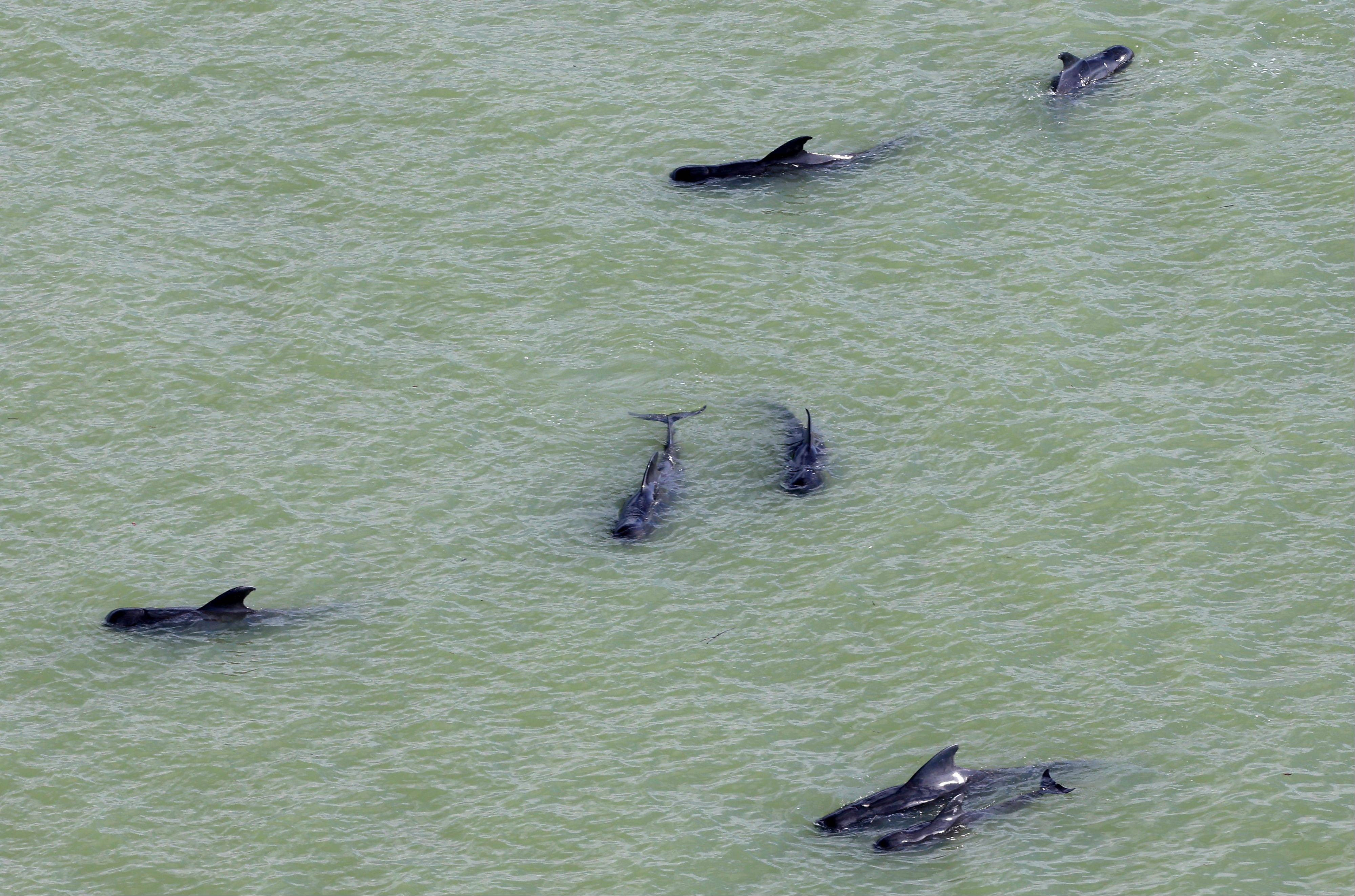 Dozens of pilot whales are stranded in shallow water in a remote area of Florida's Everglades National Park on Dec. 4.