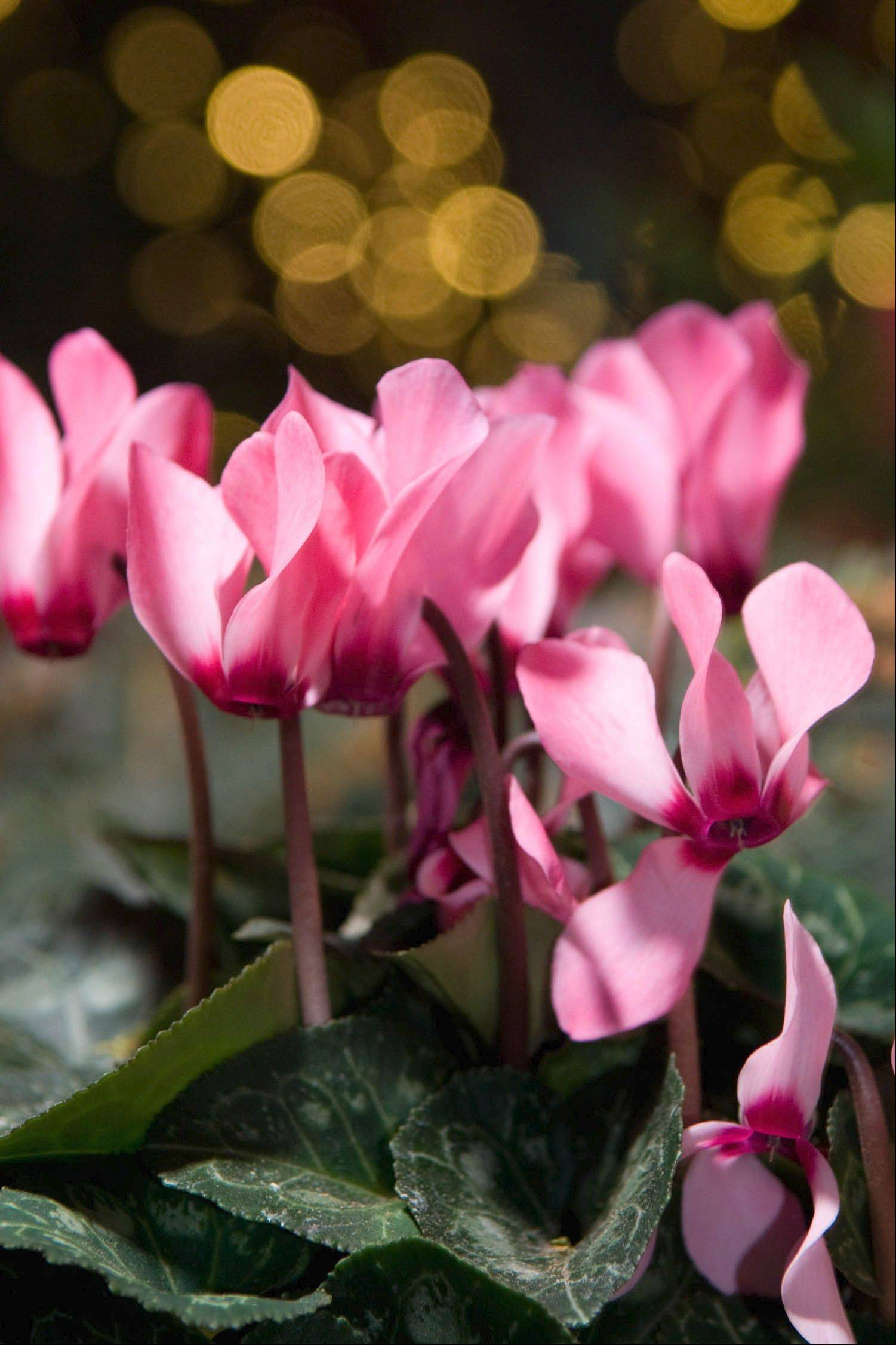 Plants given as gifts during the holidays, like the cyclamen pictured, often are wrapped in colorful foil, which traps water in the roots. Be sure to remove the foil, or at least punch holes in the bottom to allow water to drain.