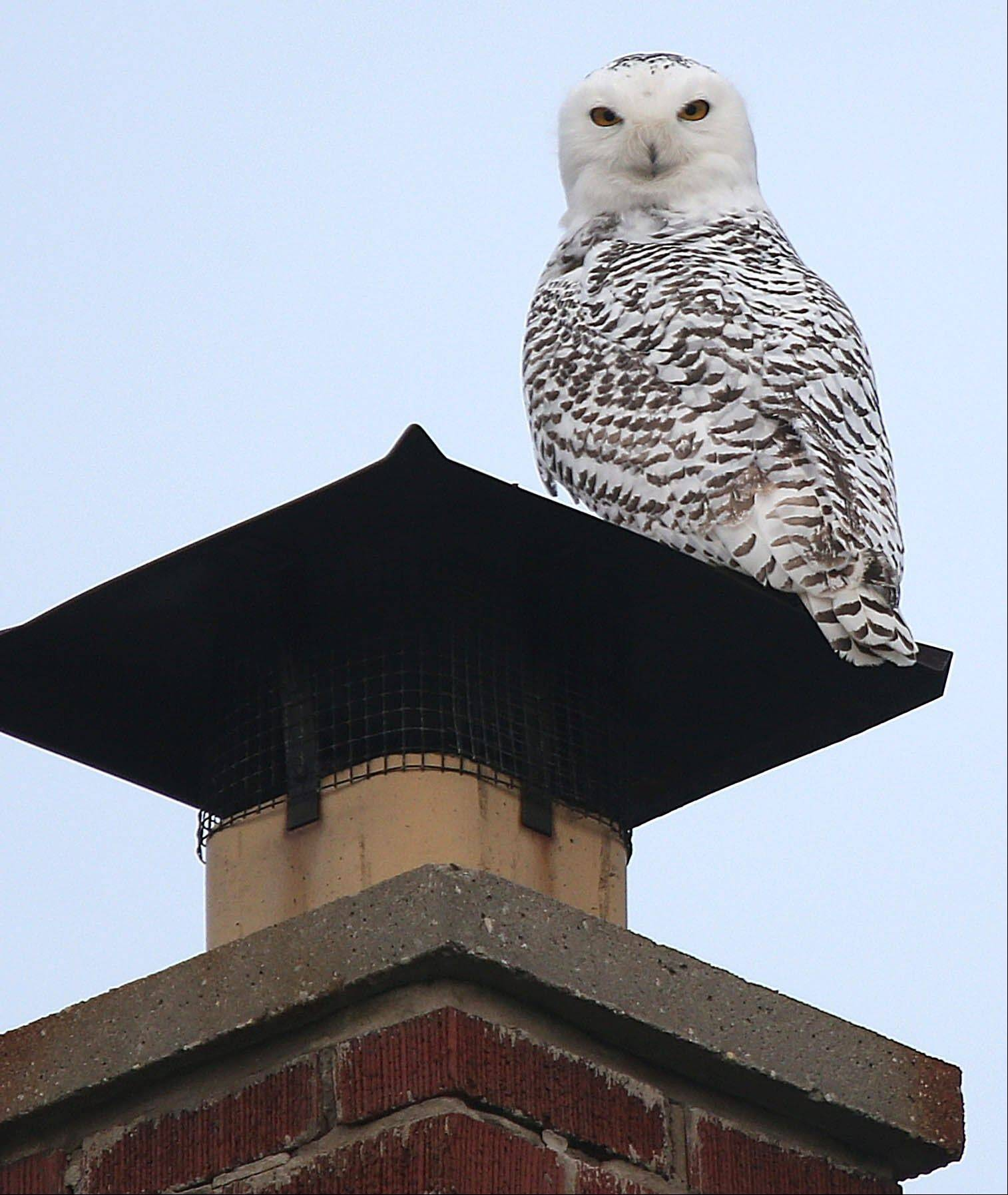 A snowy owl sits on the chimney of a home in Eggertsville, N.Y.