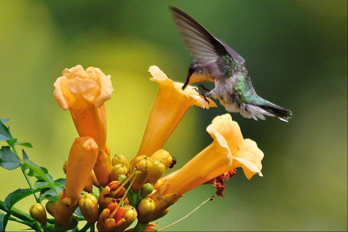 A Ruby-throated Hummingbird sips nectar of a yellow hummingbird vine flower in a Wheeling backyard last summer.