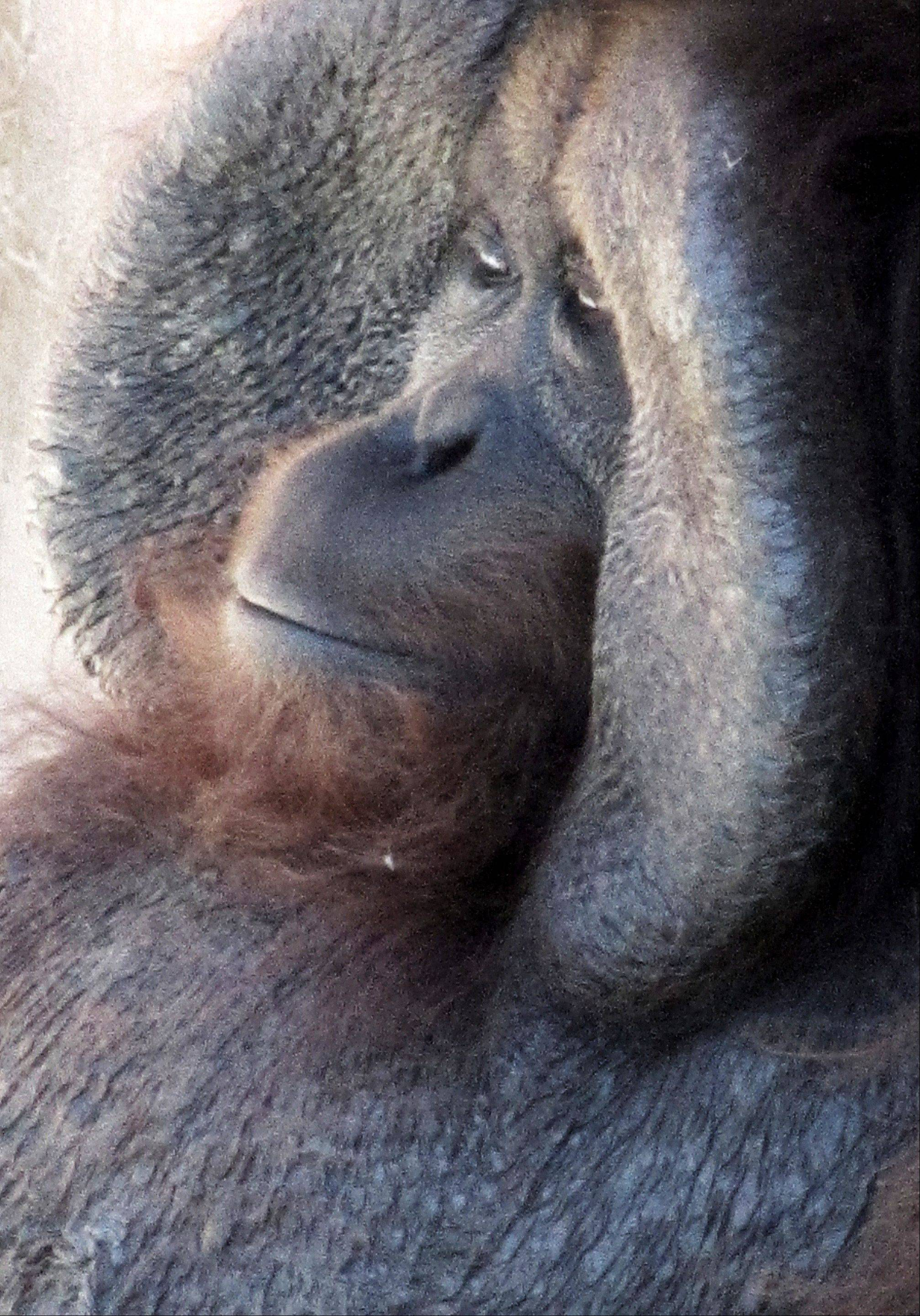 This was taken at the Little Rock Arkansas Zoo. The orangutan was really checking me out as I snapped his photo. I wonder what he was thinking?