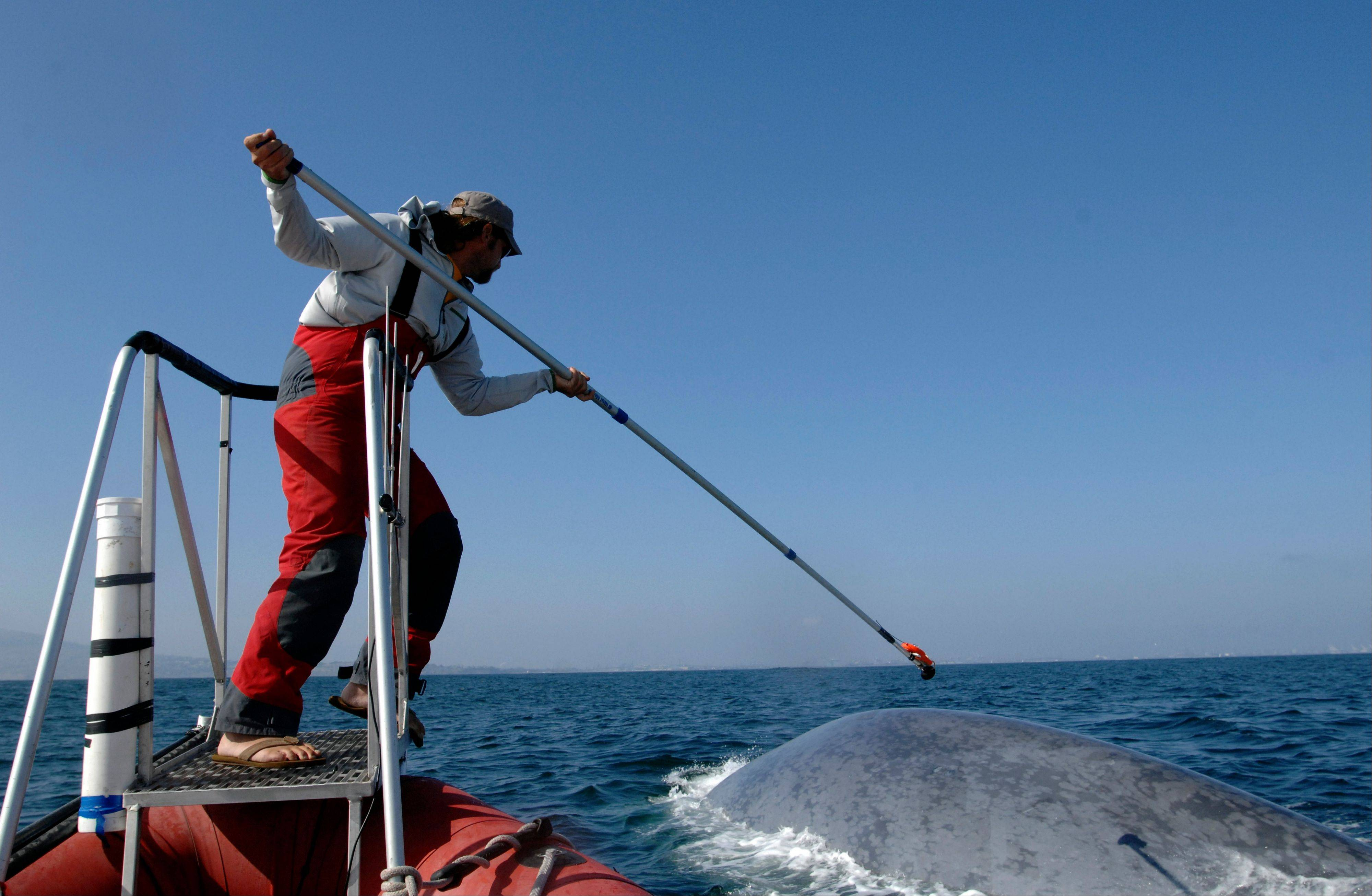 A researcher tags a blue whale off the coast of Southern California. Two recent studies found certain endangered blue whales and beaked whales stopped feeding and fled from recordings of noise similar to military sonar.