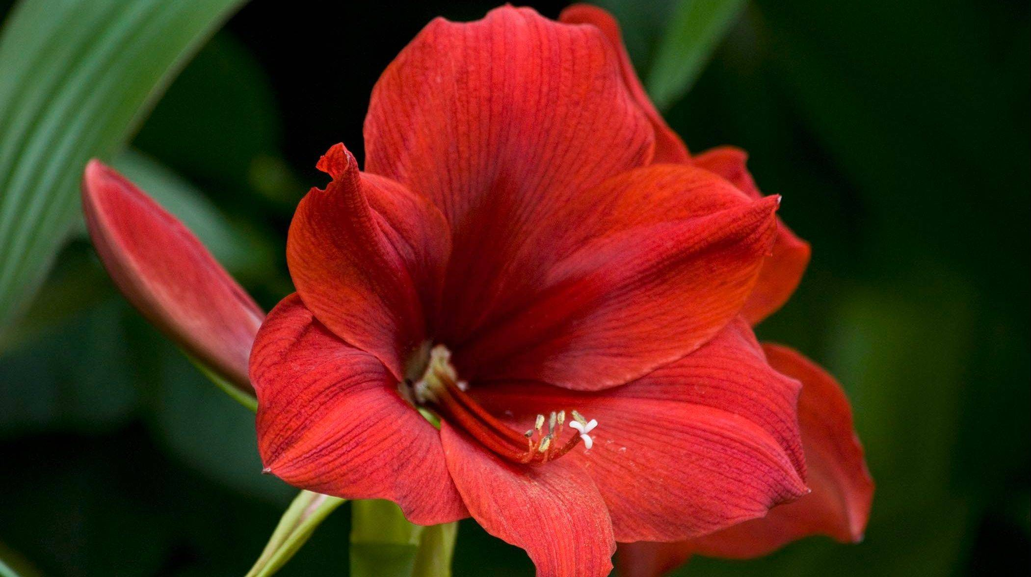 Amaryllis bulbs can be potted in shallow containers with a soilless growing medium.