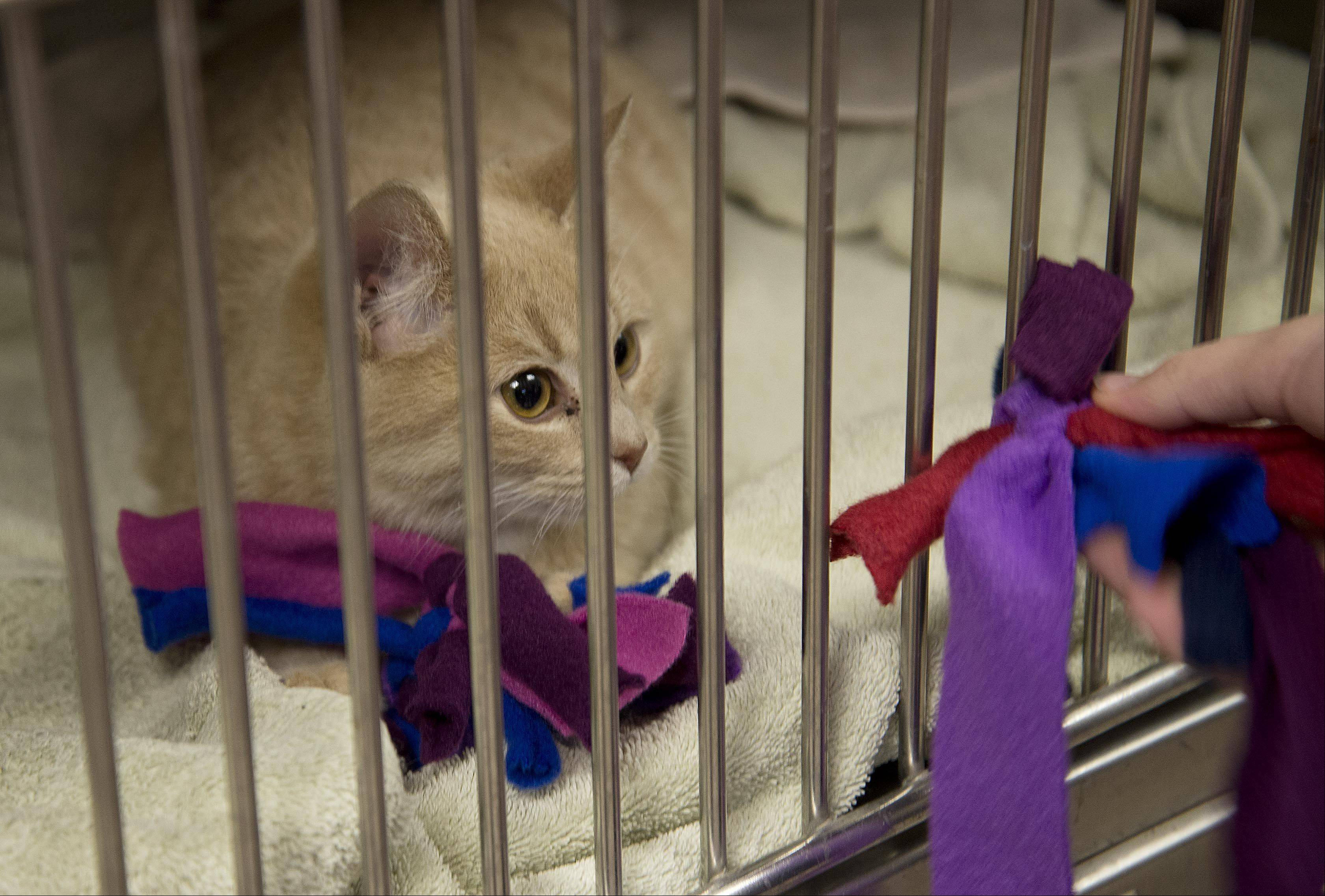 A handmade toy is presented to one of the 100 felines during a Santa Paws Workshop For Kids on Sunday at the Anderson Animal Shelter in South Elgin. The event allowed young participants to interact with the shelter's animals and learn about their care