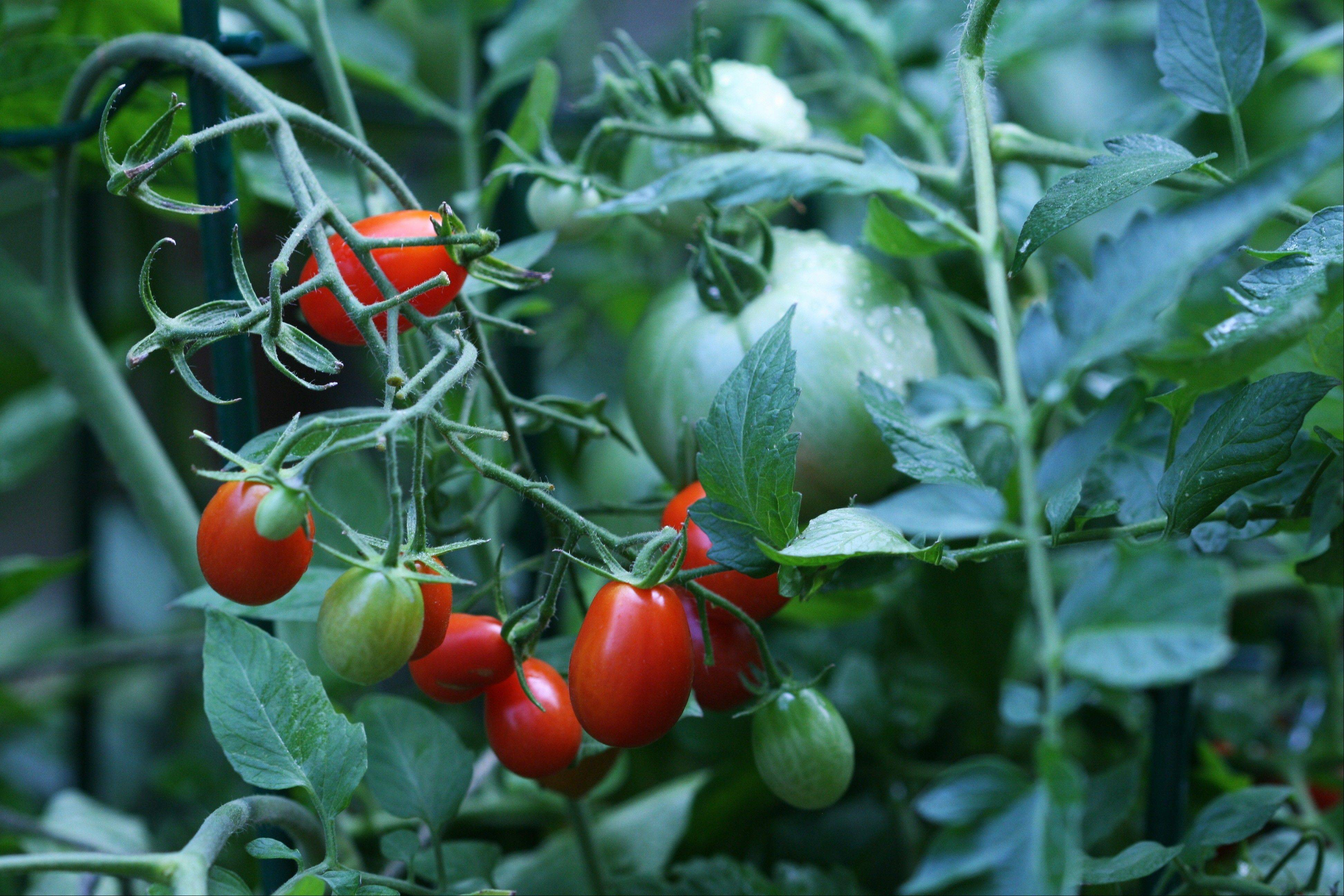 Tomatoes are tender plants, susceptible to damage from frost. Like most warm-season crops, they can be started indoors or protected by such season-extending tools as cold frames, row covers or hoops until the threat of frigid weather has passed. Wait until soils have warmed to at least 55 or 60 degrees before transplanting.
