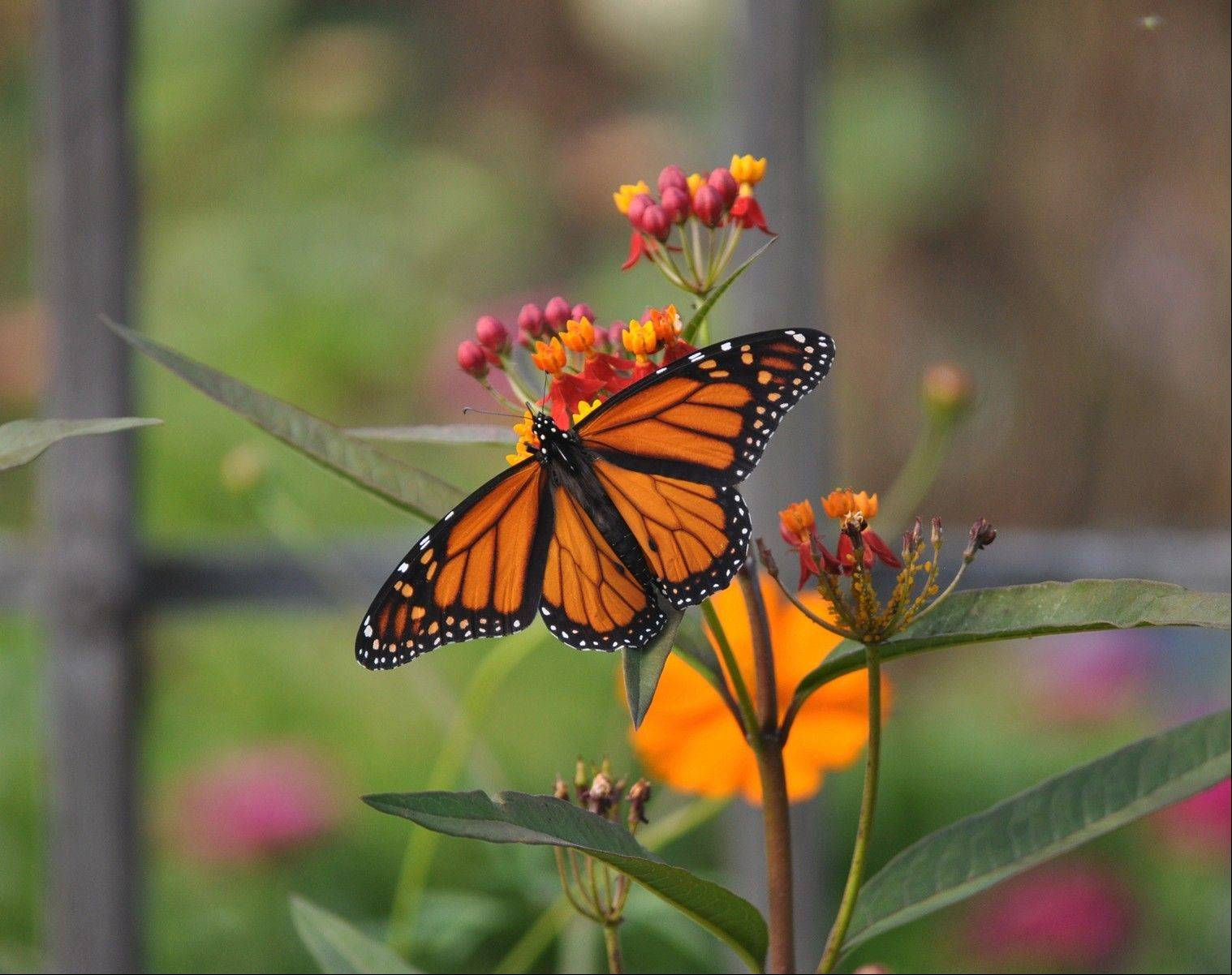 Tom Walsh shot this colorful photo of monarch butterflies at Cantigny Park's Idea Garden in Wheaton.