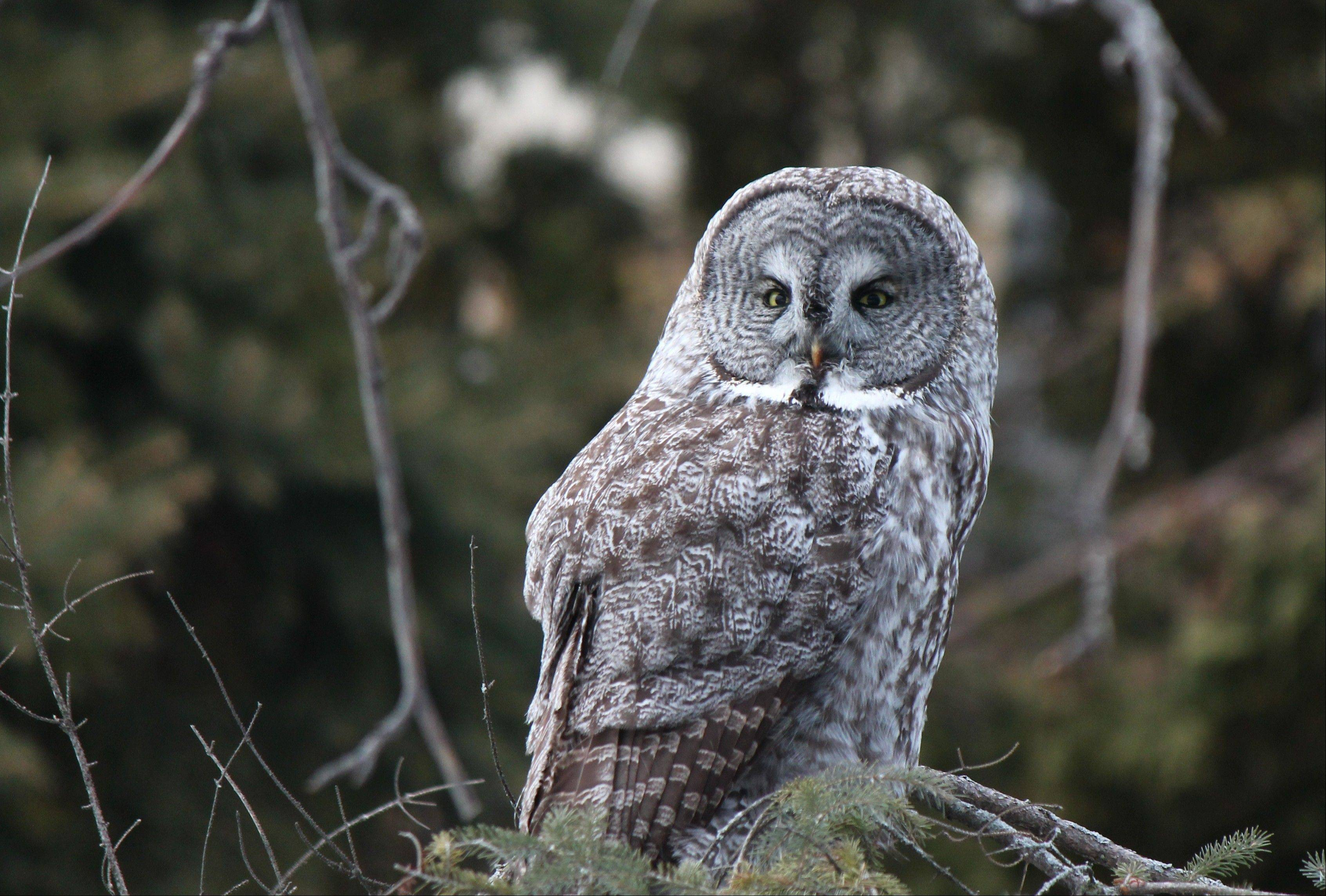 Great gray owls normally stay well north of our region. When this one turned up in Middleton, Wis., many birders declared an emergency road trip.