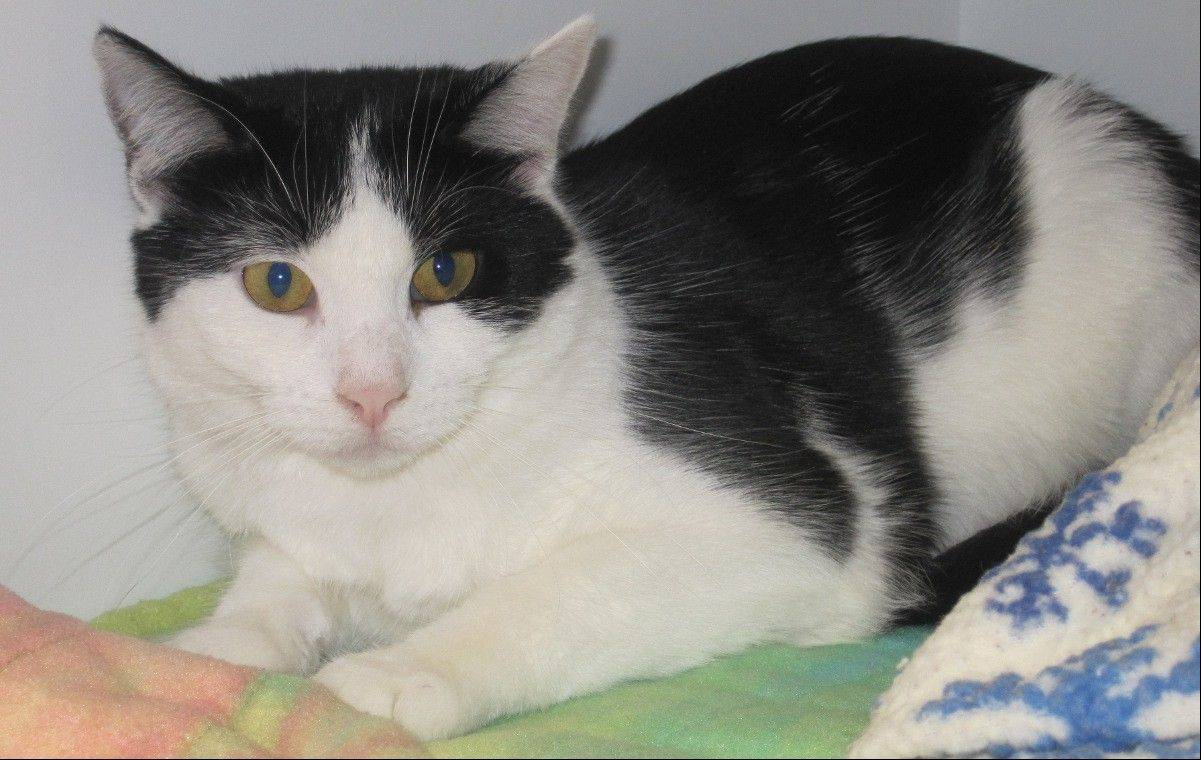 Rascal is a 4-year-old black and white domestic shorthair female. Rascal is very friendly and loves people. She will sit on your lap for hours at a time.