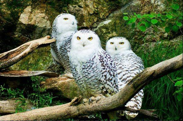 Wisconsin wildlife officials say bird watchers are logging another influx of snowy owls from Canada.
