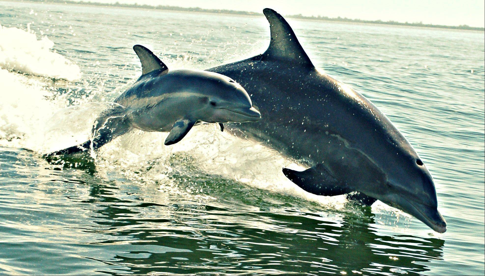 This is a mother dolphin and her calf in Sanibel Island, FL shot last month.