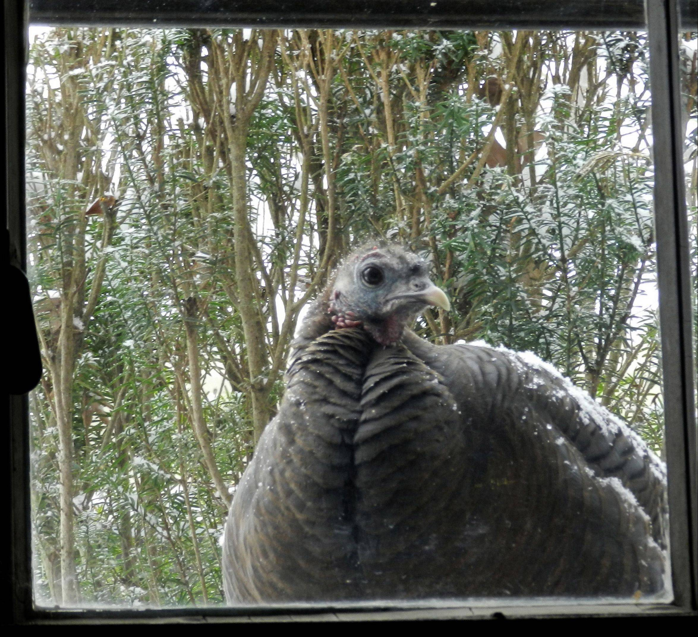 The setting is a wild turkey hen who discovered that heat comes from our basement window in cold weather, while the bush right behind it offers protection from the wind. This bird also seems quite interested in who's on the other side of the window.