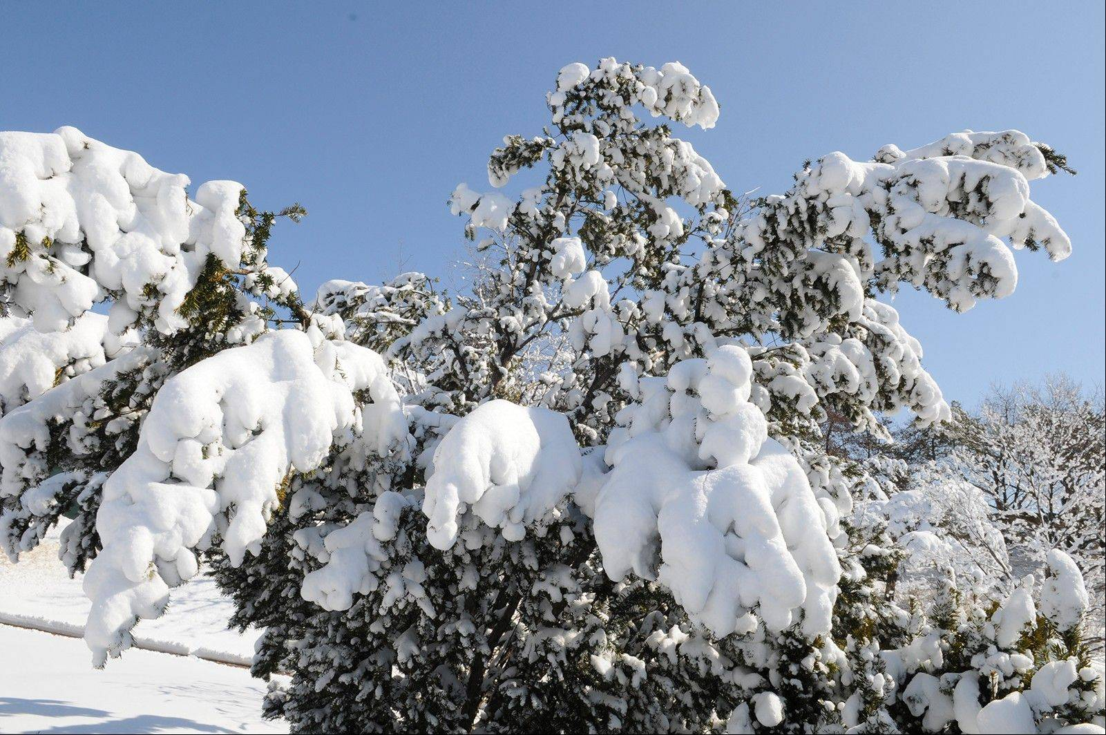 As the snow piles up, branches can be damaged under its weight.