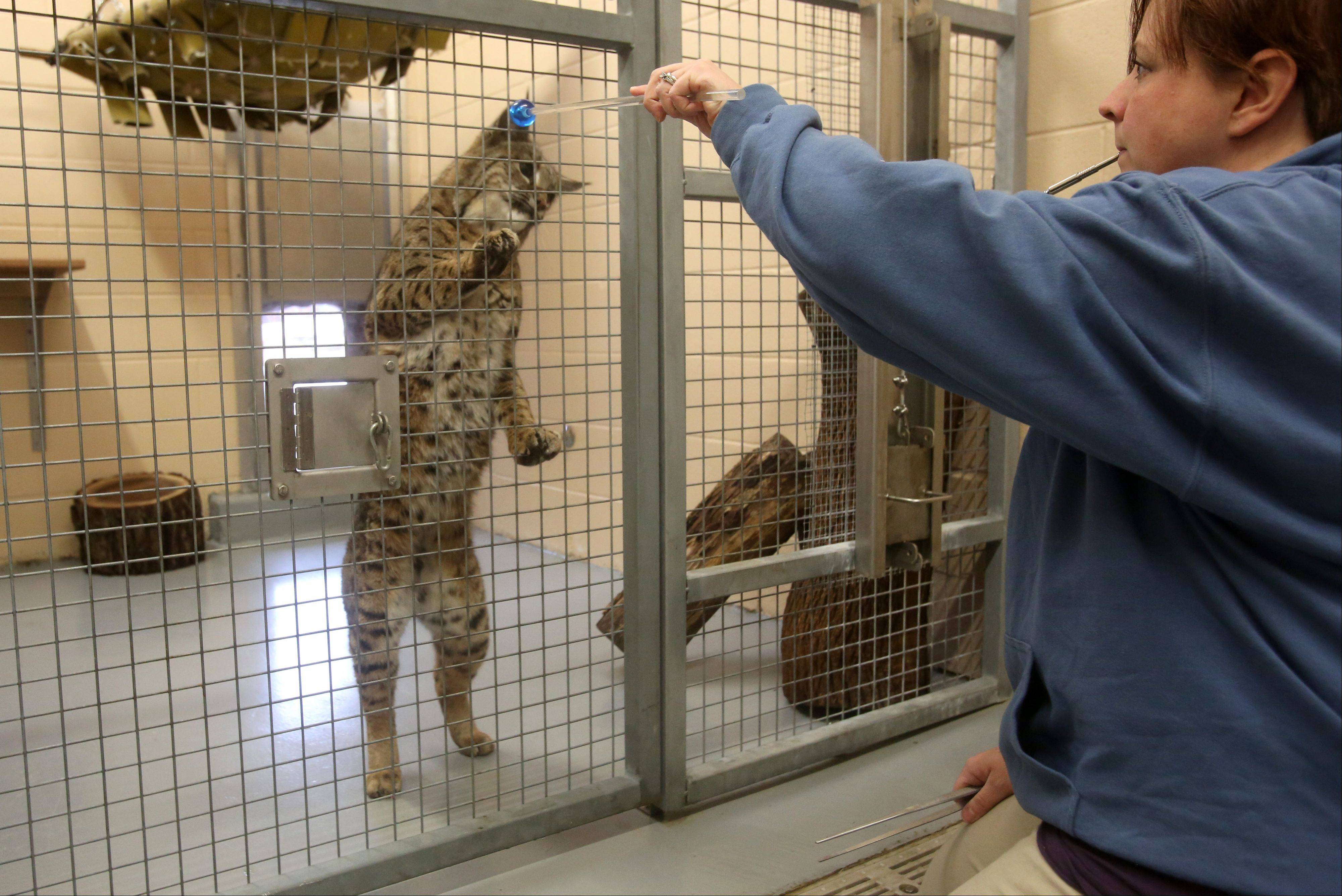 Cosley Zoo in Wheaton offers a half-hour program each day that allows visitors to go behind the scenes at the bobcat exhibit. Zookeeper Jenny Theuman feeds bobcat Sal a mixture of mice, quail and chicken.