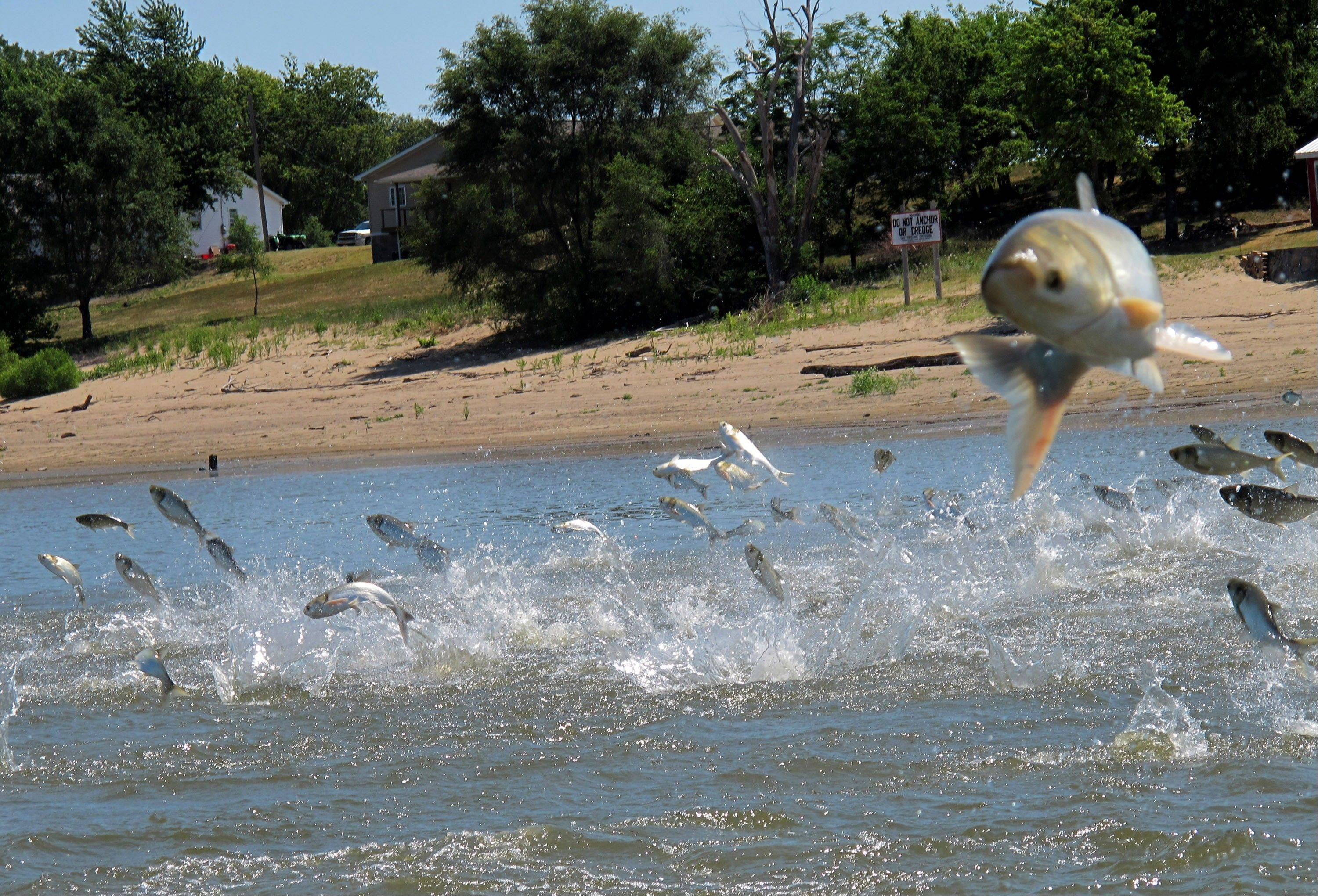 Invasive Asian carp, jolted by an electric current from a research boat, jump from the Illinois River near Havana, Ill.