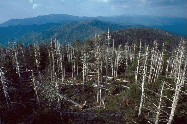 Balsam woolly adelgid, an insect that destroys wild fir trees, was first discovered in 1957 on Mount Mitchell, N.C.