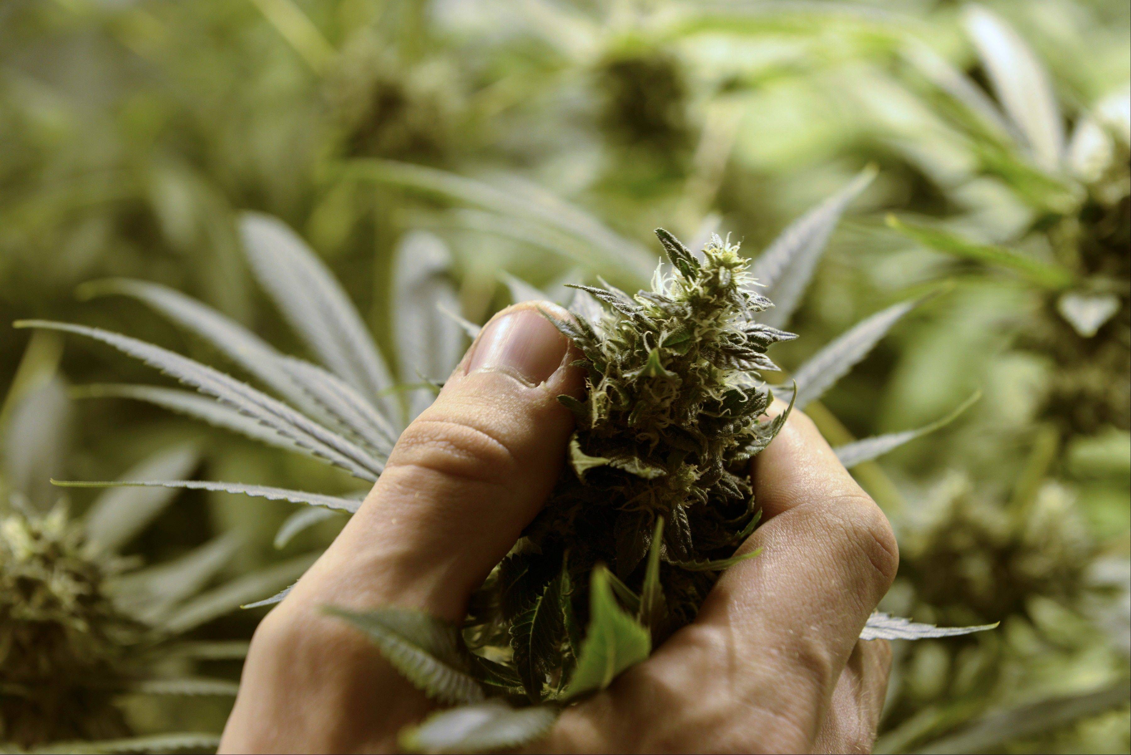 Juan Palese, a marijuana grower, shows his crop Wednesday outside of Montevideo, Uruguay.