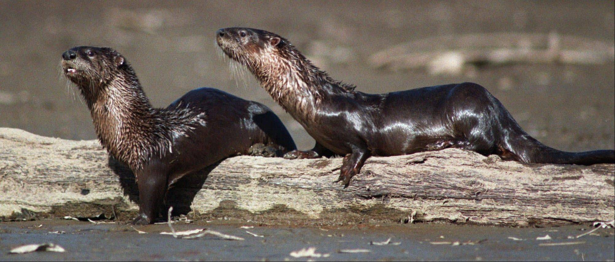The state legislature allowed last year, for the first time, a highly regulated river otter trapping season.