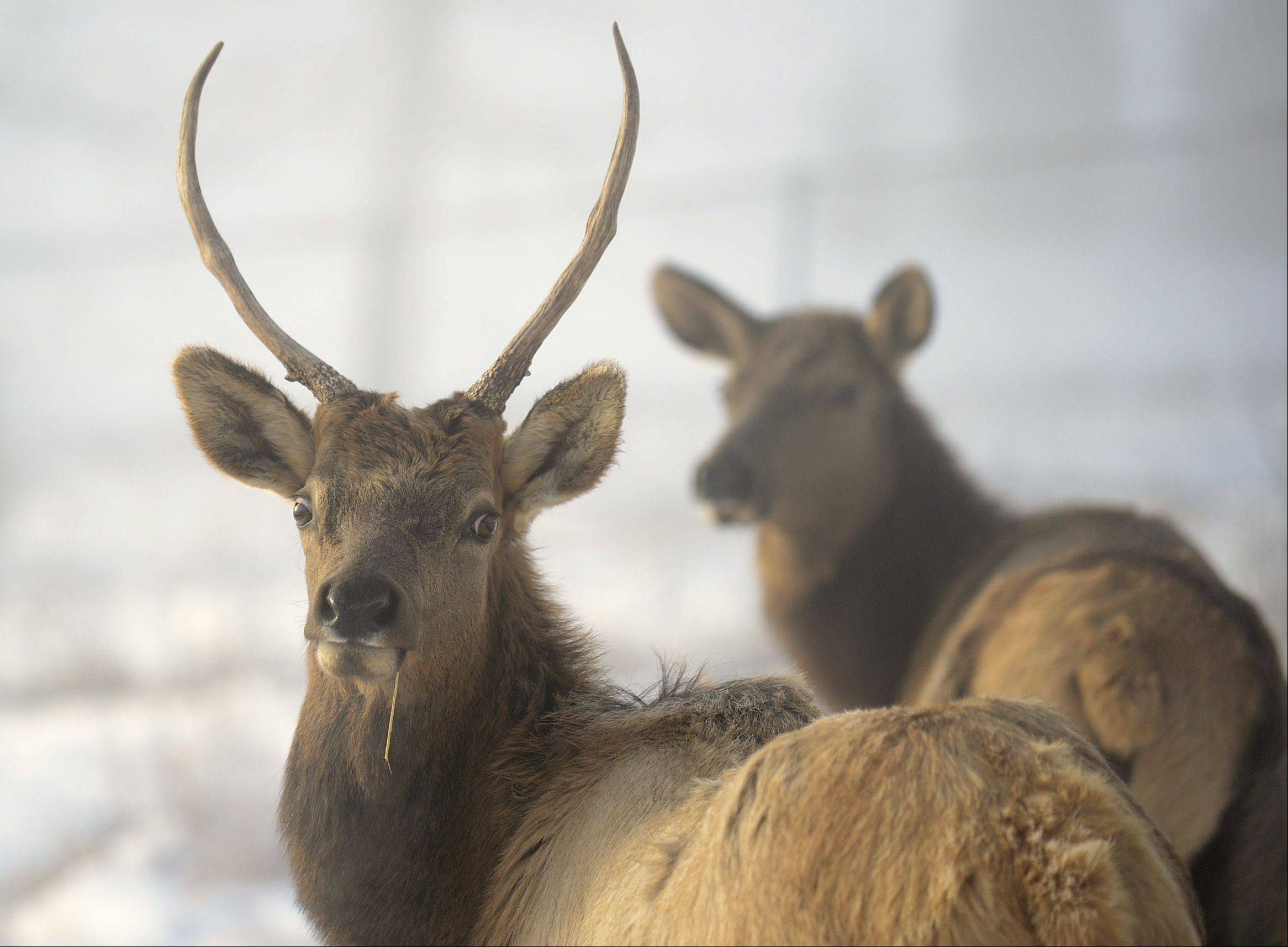 These are among four new elk that came this month to Lords Park Zoo in Elgin.