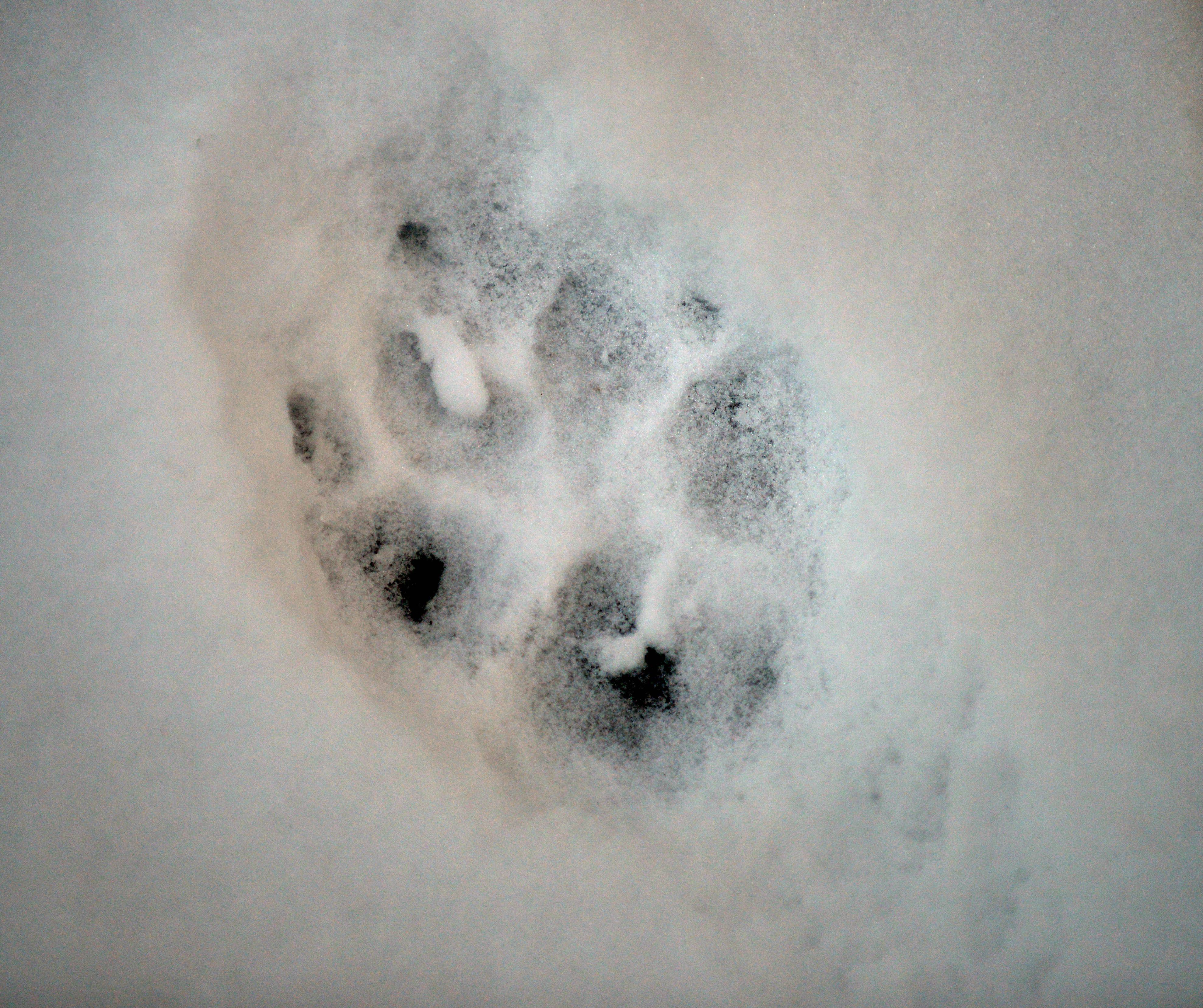 A large dog paw print makes its mark on the snow on the River Walk in Naperville Thursday. This photo was published in the Perspective column in the print edtion.