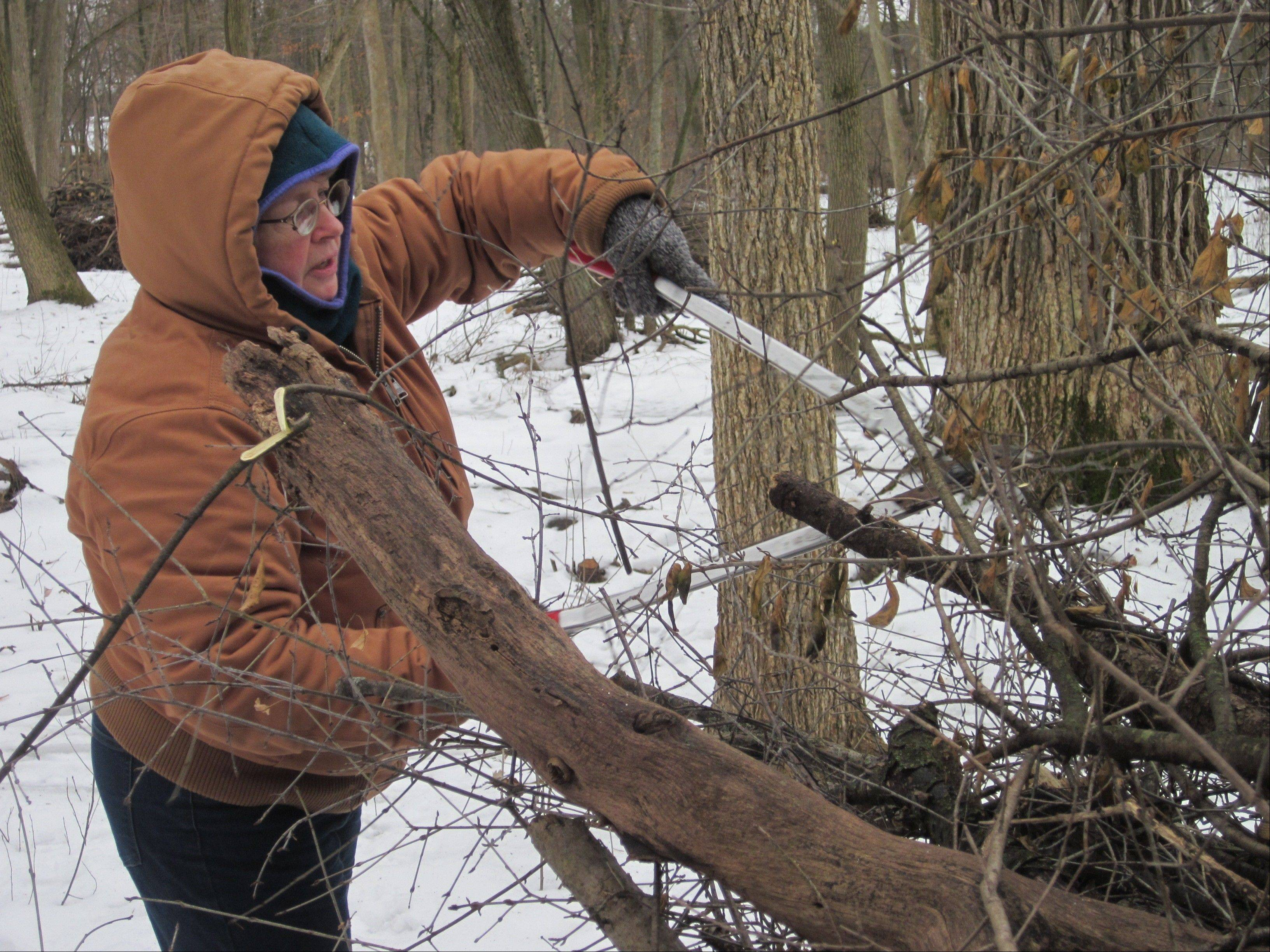 Volunteer Kathy Garness uses loppers to cut buckthorn Sunday during a restoration work day at the Wilmot Woods Forest Preserve near Libertyville. The invasive species crowds out native plants.