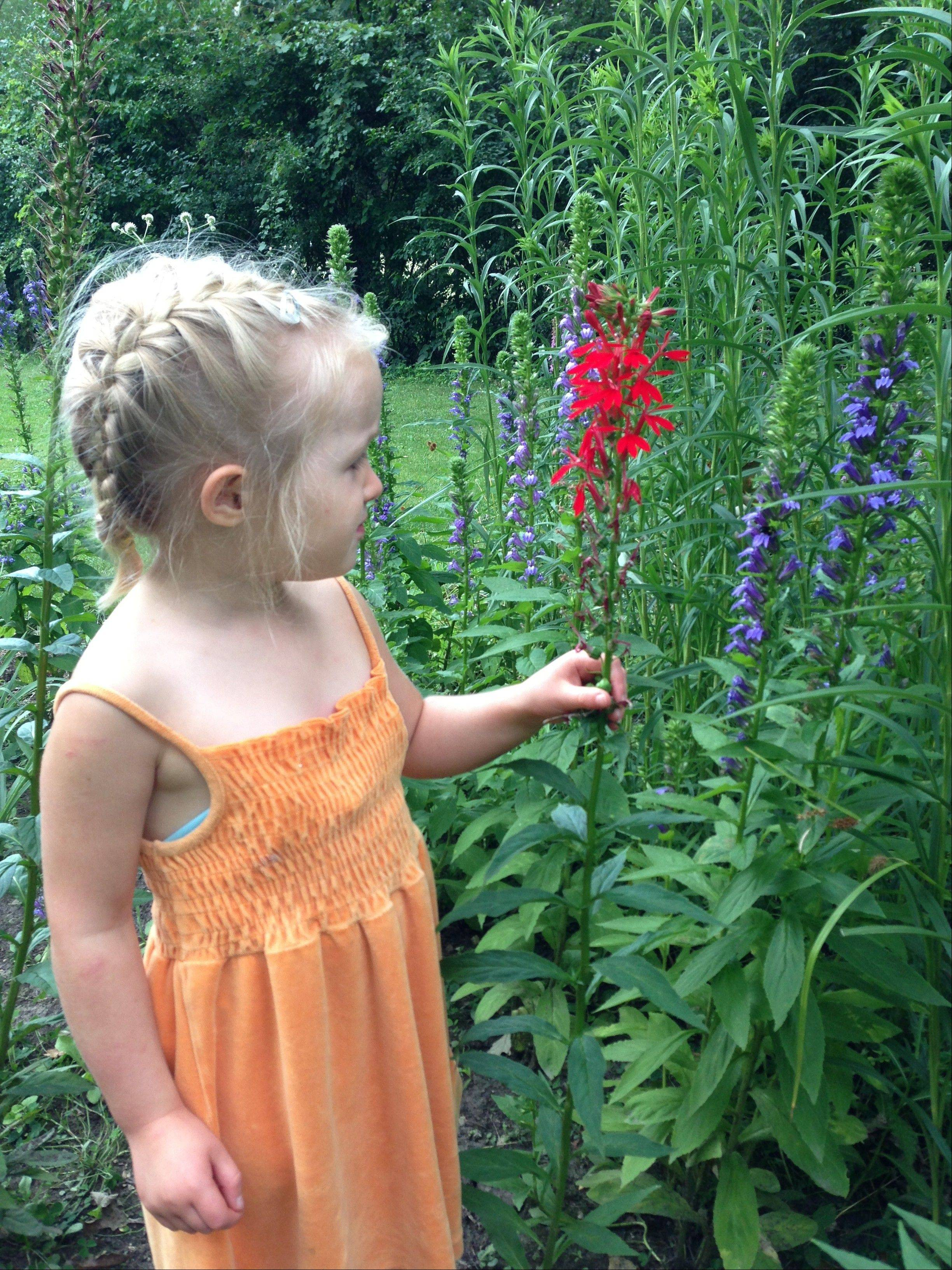 Ciena Gilday admires a cardinal flower growing in the new rain garden habitat outside Montessori Children�s House of North Barrington. The project recently was awarded The Barrington Area Conservation Trusts Conservation@School award.