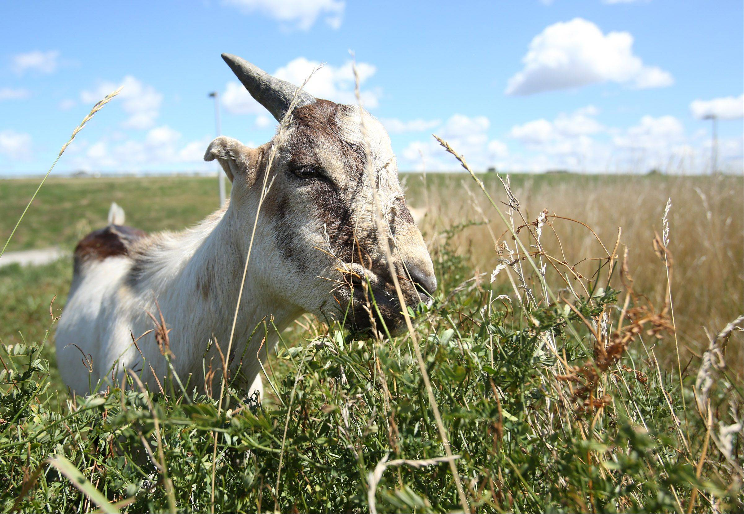 A goat grazes on grass at the northeast corner of O'Hare International Airport in Chicago last August.