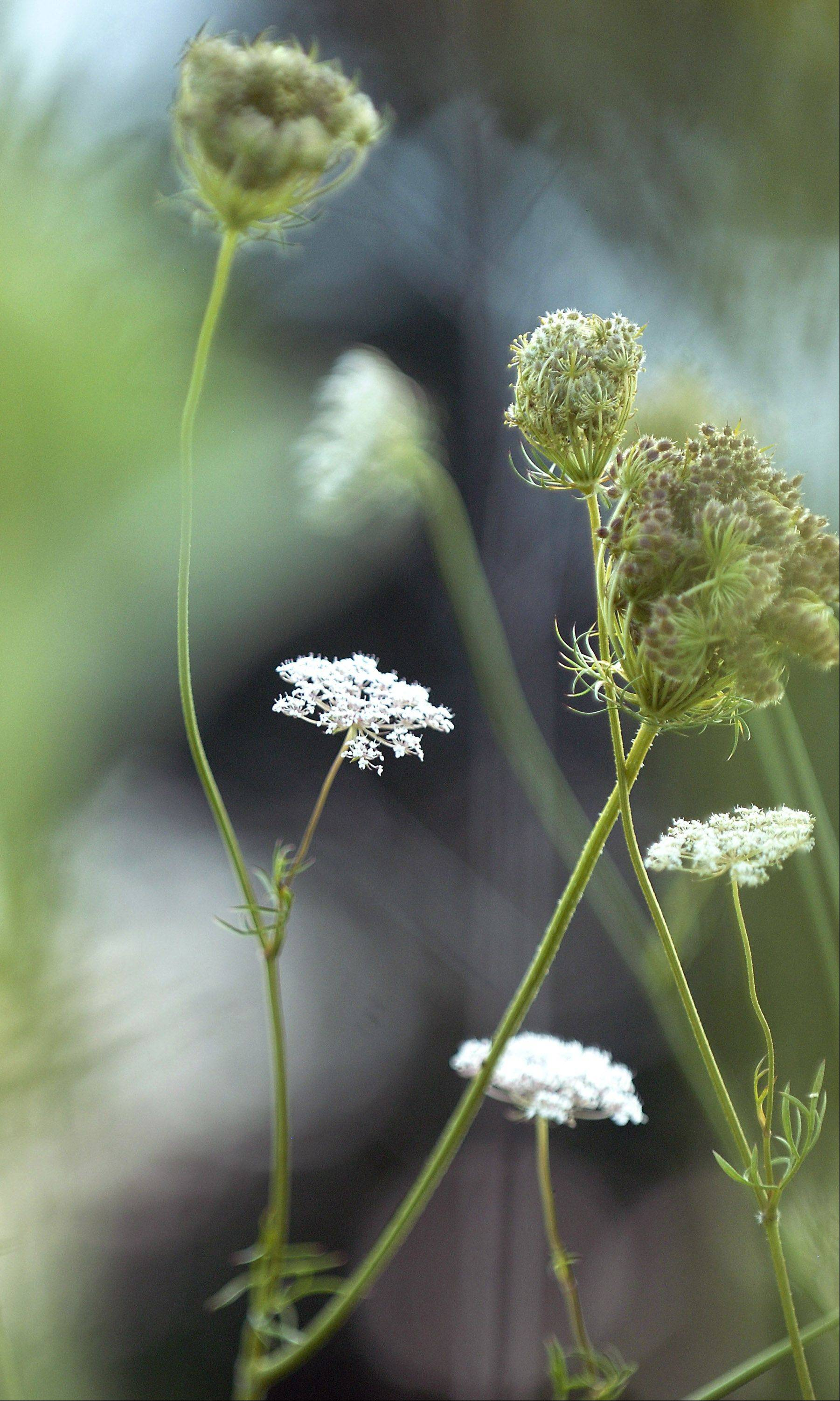 Queen Anne's Lace blooms at LeRoy Oakes in St. Charles.