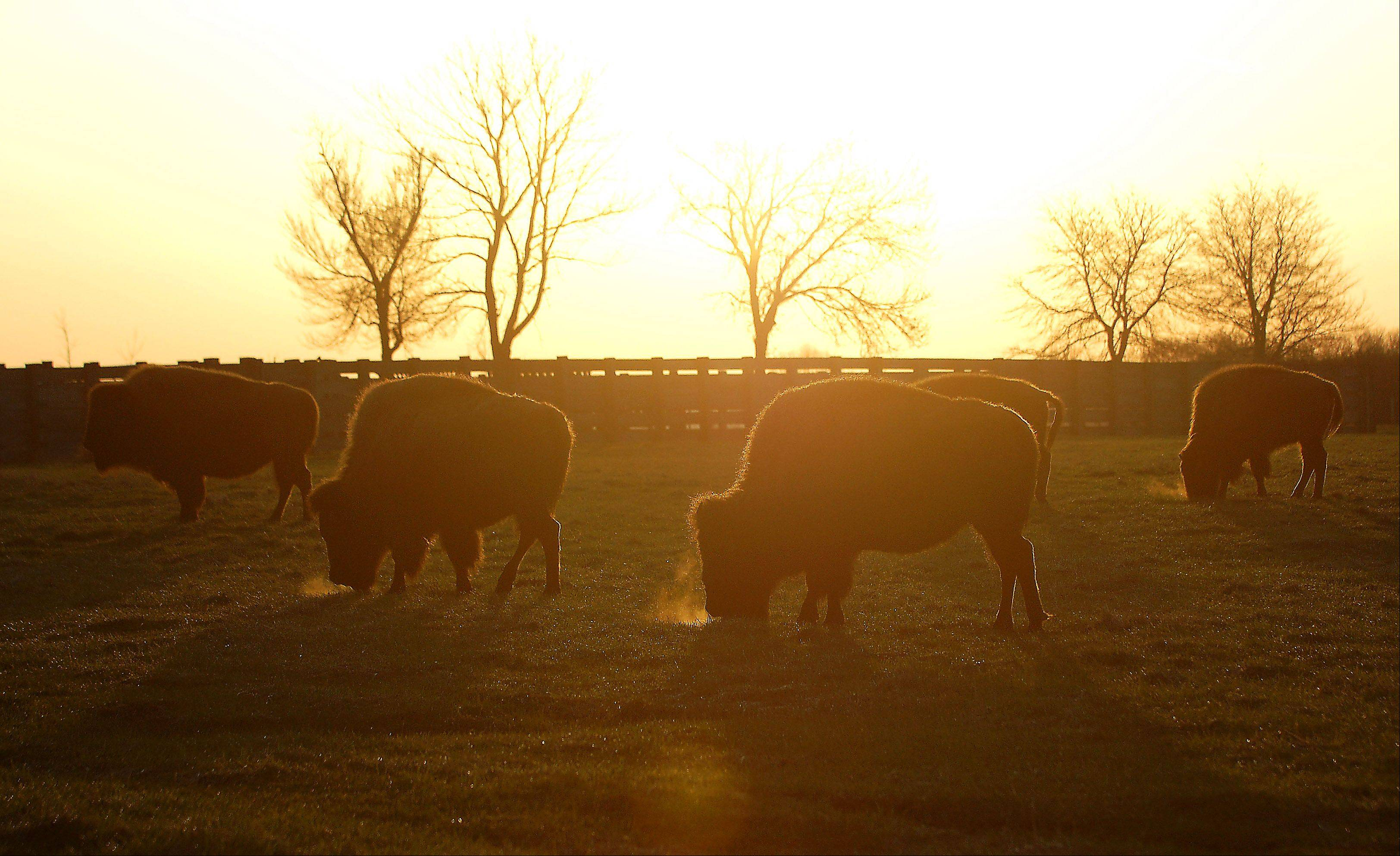 Bison graze in the pasture as the sun rises over Fermilab in Batavia.