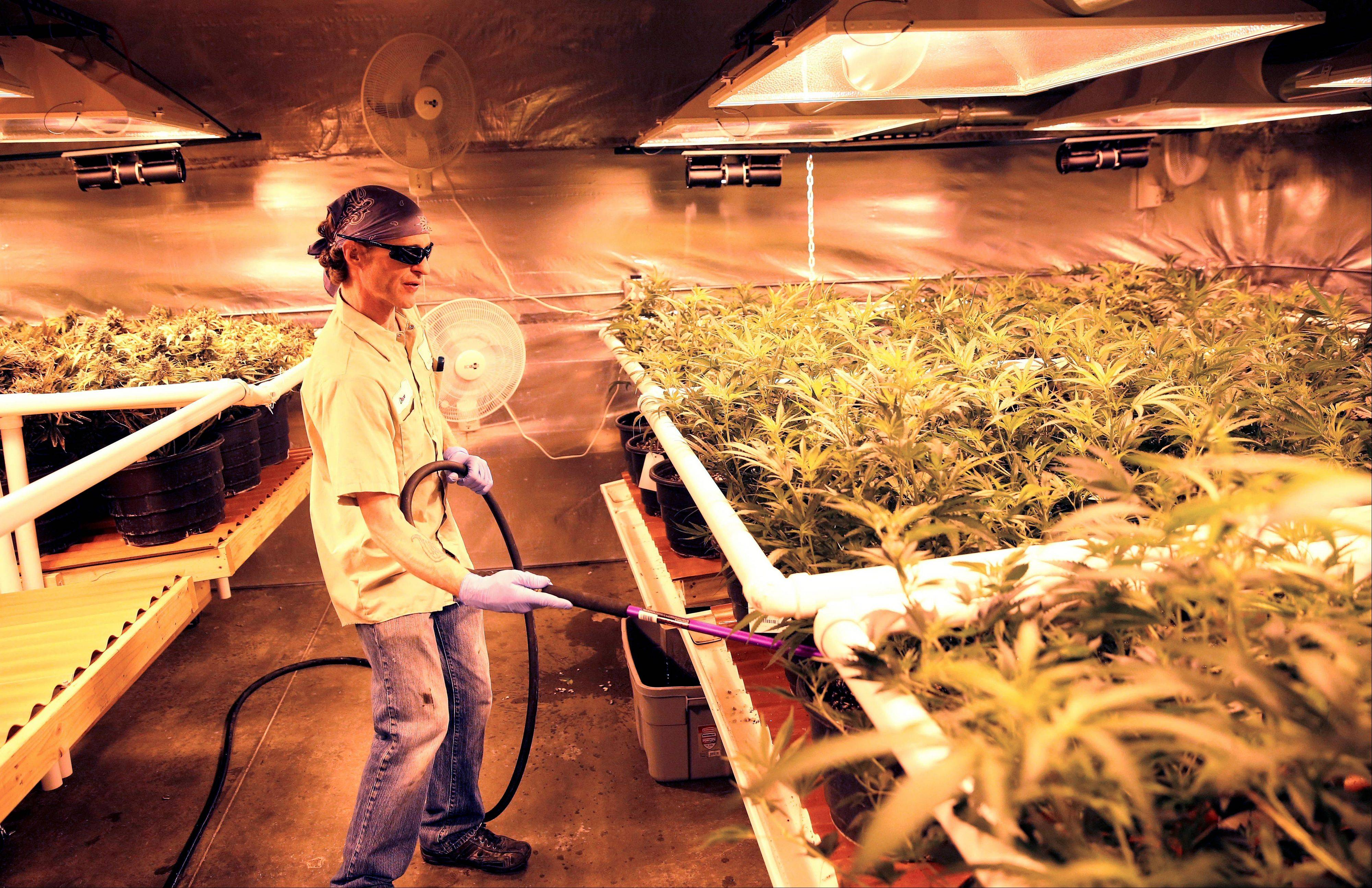 "An employee waters pot plants inside a grow house, later to be harvested, packaged and sold at Medicine Man marijuana dispensary, which is to open as a recreational retail outlet at the start of 2014, in Denver. Colorado is making final preparations for marijuana sales to begin Jan. 1, a day some are calling ""Green Wednesday."""