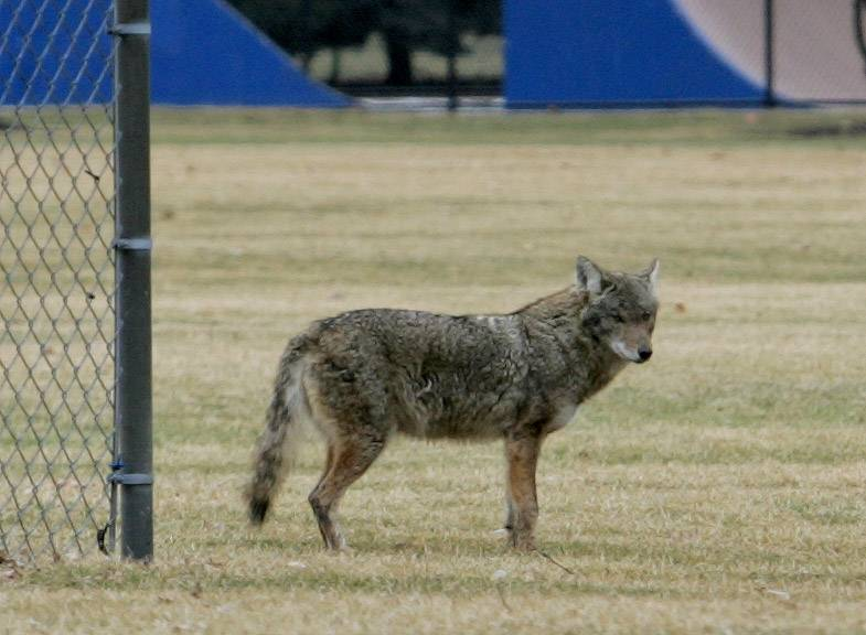While experts say coyote attacks on people are rare, authorities have said coyotes are more visible now as food becomes scarcer and young coyotes leave their families.