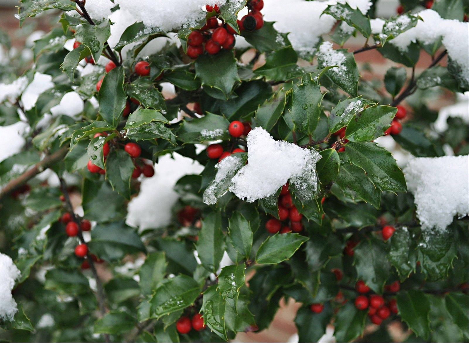 Unlike many plants, holly�s pollen is borne on flowers that are strictly male, while its eggs are contained in flowers that are strictly female. So you need trees of both sexes if you want to see any berries.