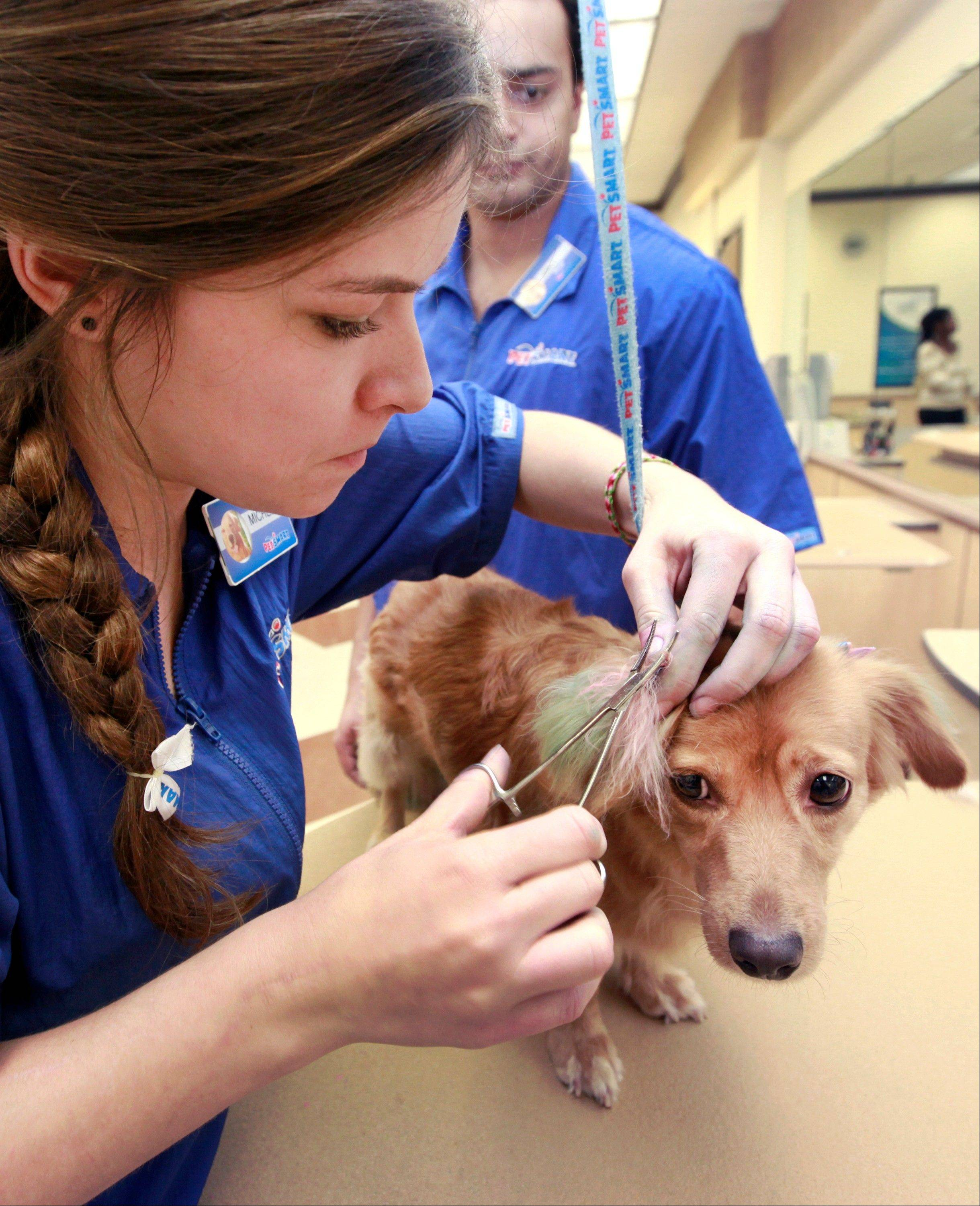PetSmart groomer Michelle Boch, assisted by salon manager Joel Mitchell, adds color during a chalking treatment to Sugarplum at PetSmart in Culver City, Calif. For some dog owners, grooming is not enough, so with chalk and paint they're adding color and transforming their pooches into fantasy fur balls that draw compliments and strange looks.