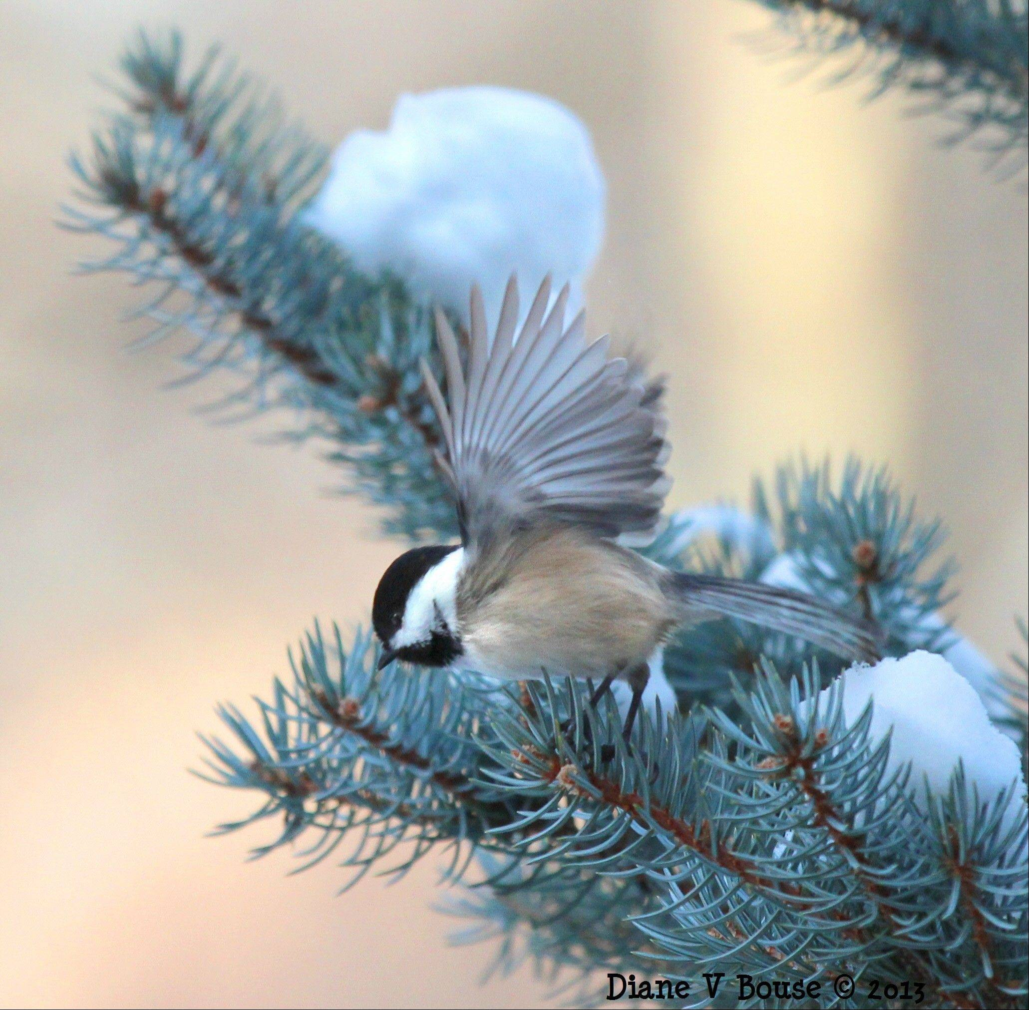 Chickadee in Pine Tree in Countryside
