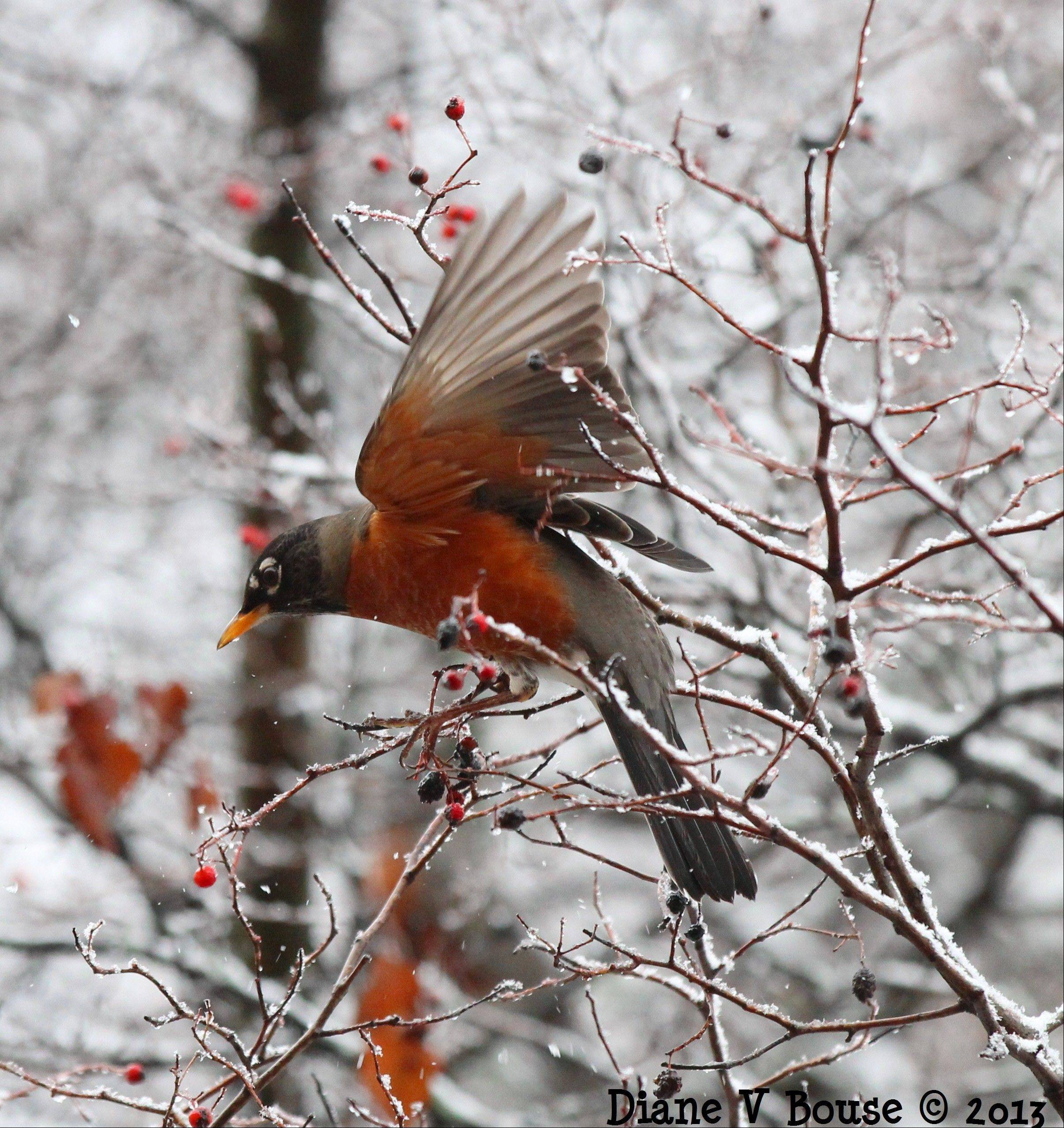 A robin eats some berries during the winter snowstorm.