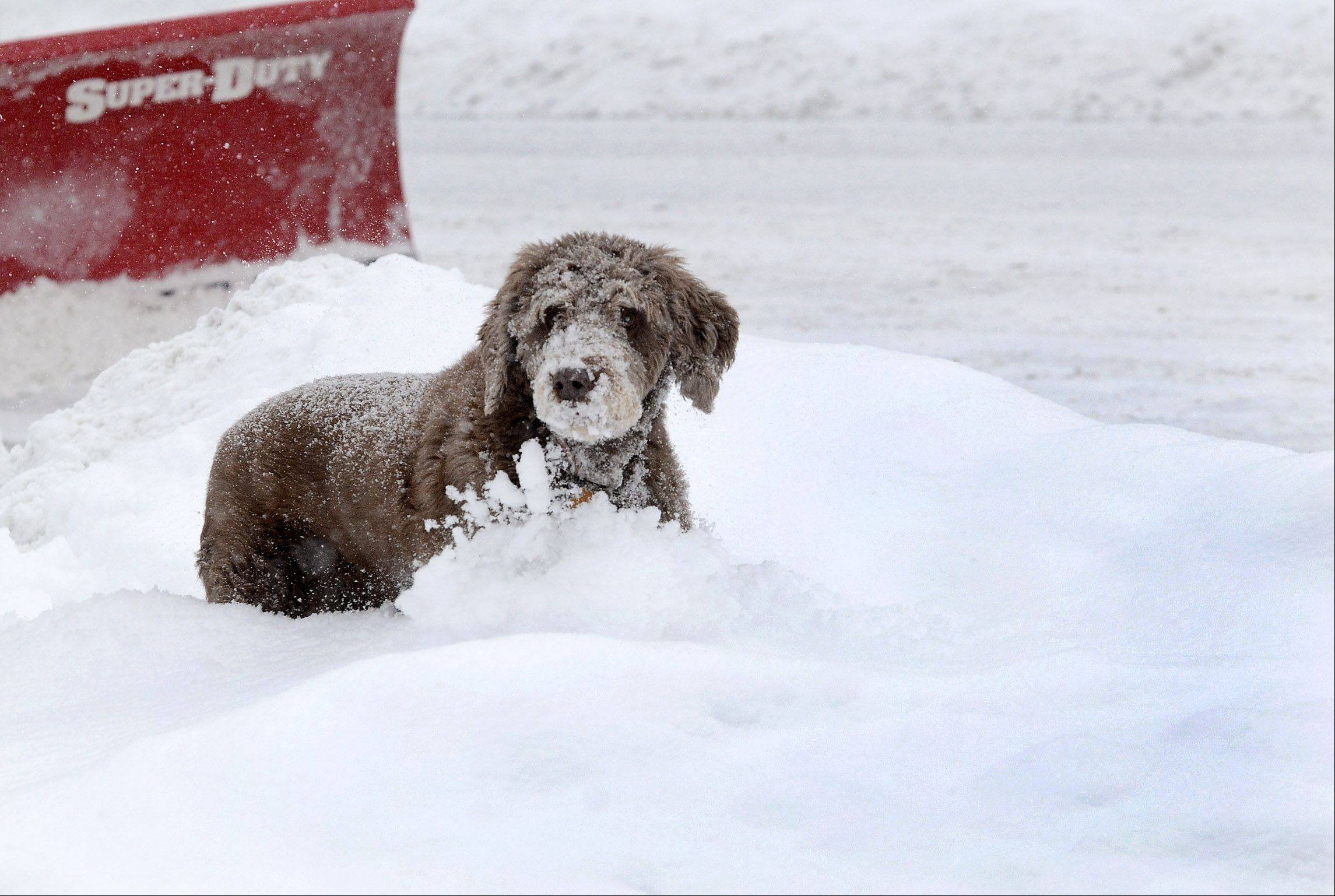 Michelle Kottke's dog, Harlee, enjoys frolicking in the snow while Kottke continues to dig her self out on South Cook Street in downtown Barrington.