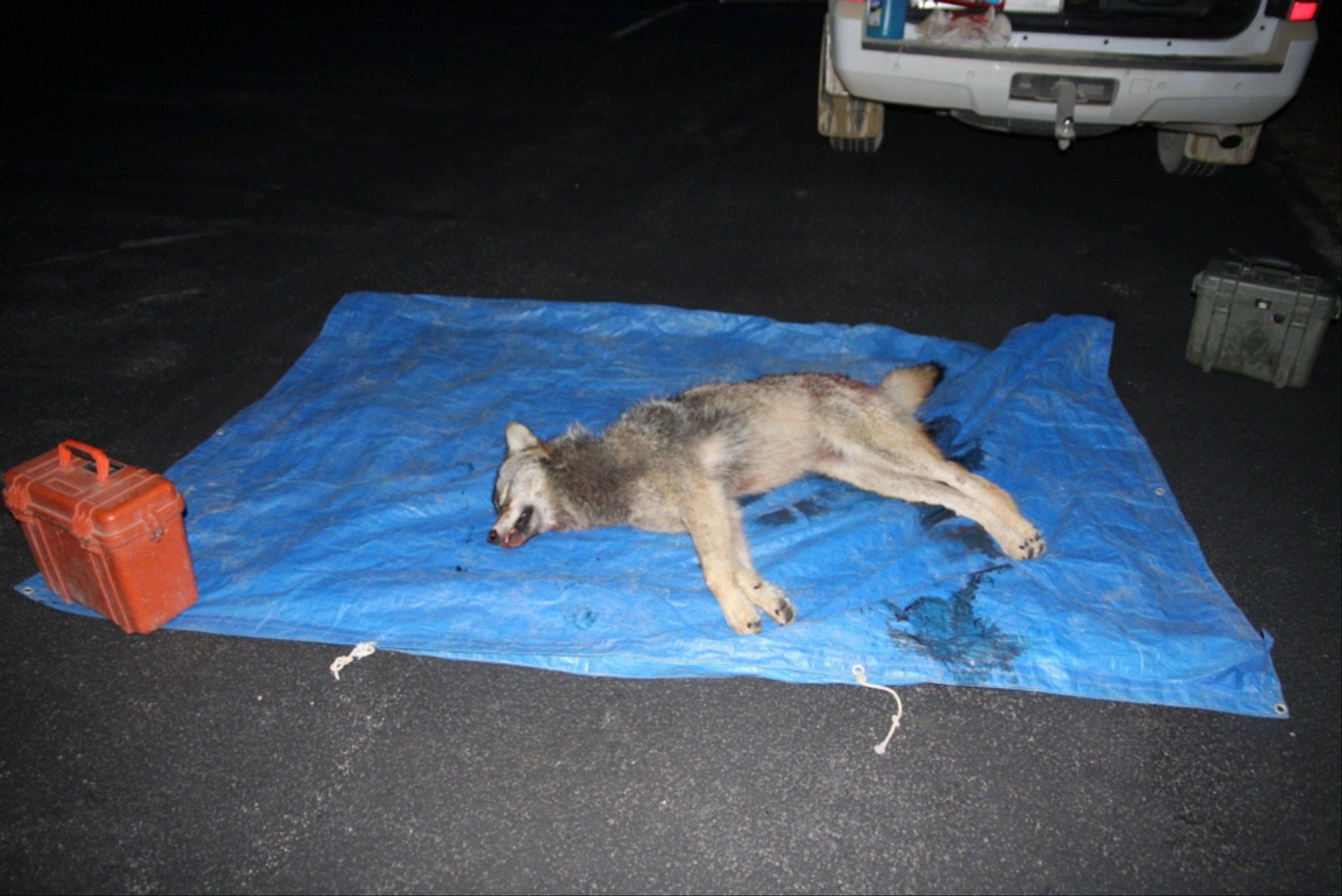 This undated picture released by the Illinois Department of Natural Resources shows a dead gray wolf, killed by hunters in northwestern Illinois in 2011. The hunters said they believed the animal was a coyote, which, especially from a distance, can look similar to wolves. Wolves are usually taller and heavier than coyotes. Illinois� own once-thriving wolves were hunted, trapped and poisoned to extinction by the 1860s. But since the first confirmed sighting in the state in more than a century in 2002, wolf sightings have gone from rare to regular _ to as many as five over the last three years.