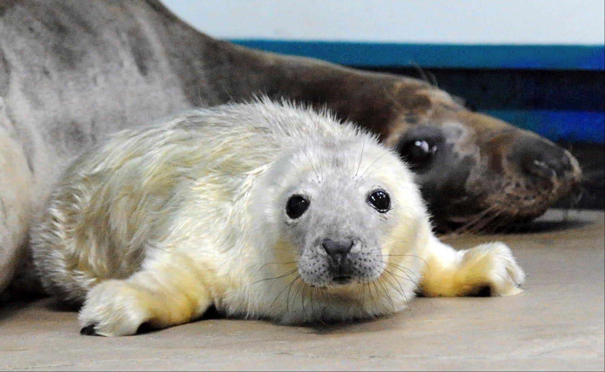 This Thursday, photo provided by the Chicago Zoological Society shows a baby grey seal that was born Wednesday, with his mother, 10-year-old Lily, at the Brookfield Zoo in Brookfield, Ill. Zoo officials say the pup is the first of its species to be born at the zoo. He weighed 25 pounds.