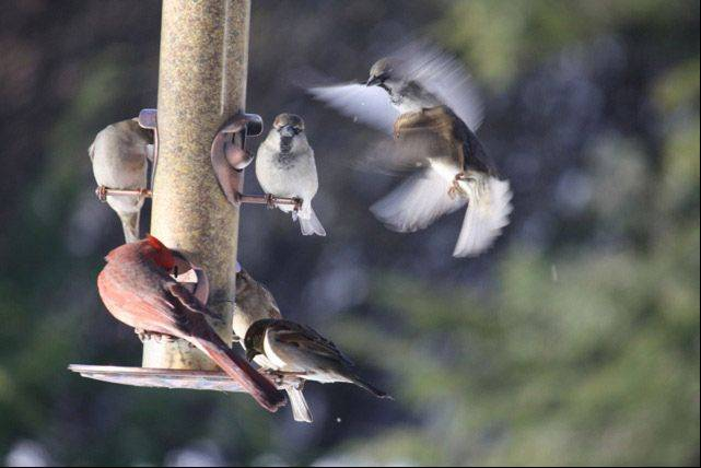 Several birds gather at a bird feeder in a Mundelein backyard recently.